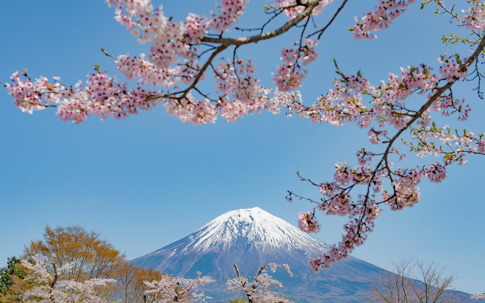 Cherry Blossoms near Mt. Fuji, Japan
