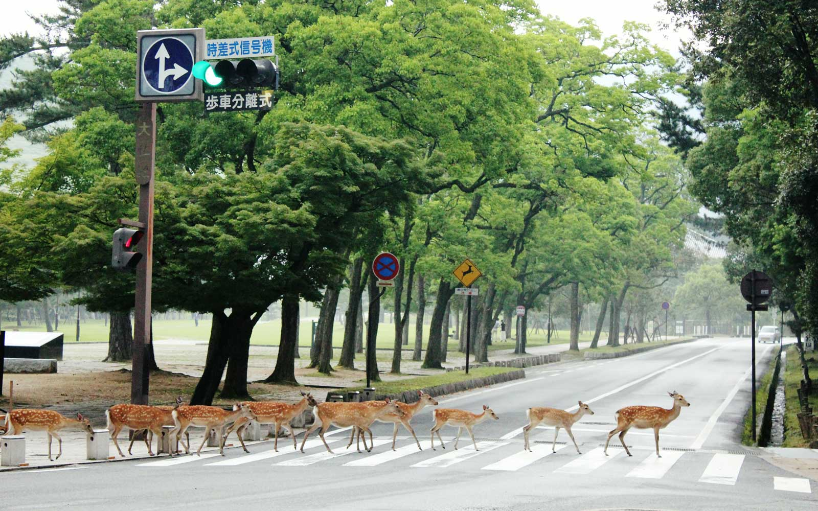 Deer crossing at a walkway in Nara Prefecture, Japan