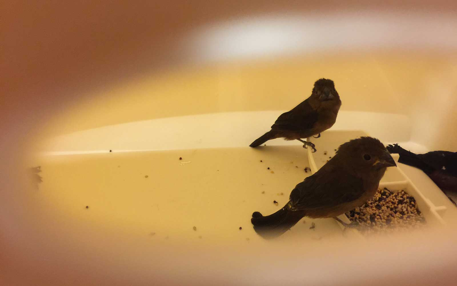 Finches found by CBP at JFK Airport