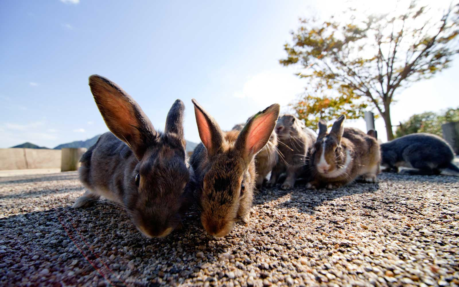 Wild bunnies on Japan's Rabbit Island (Okunoshima)