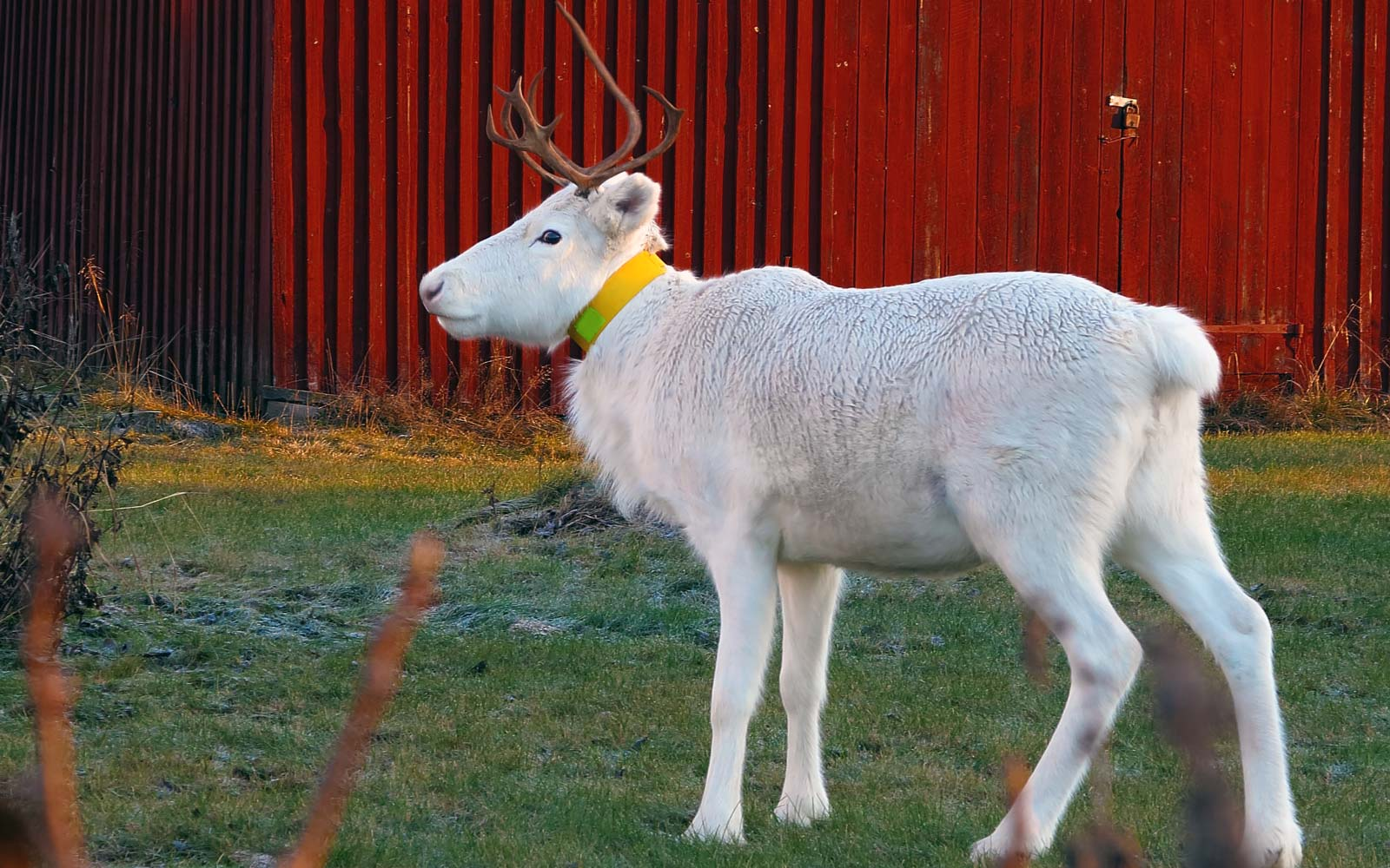 White Reindeer calf at a red painted barn