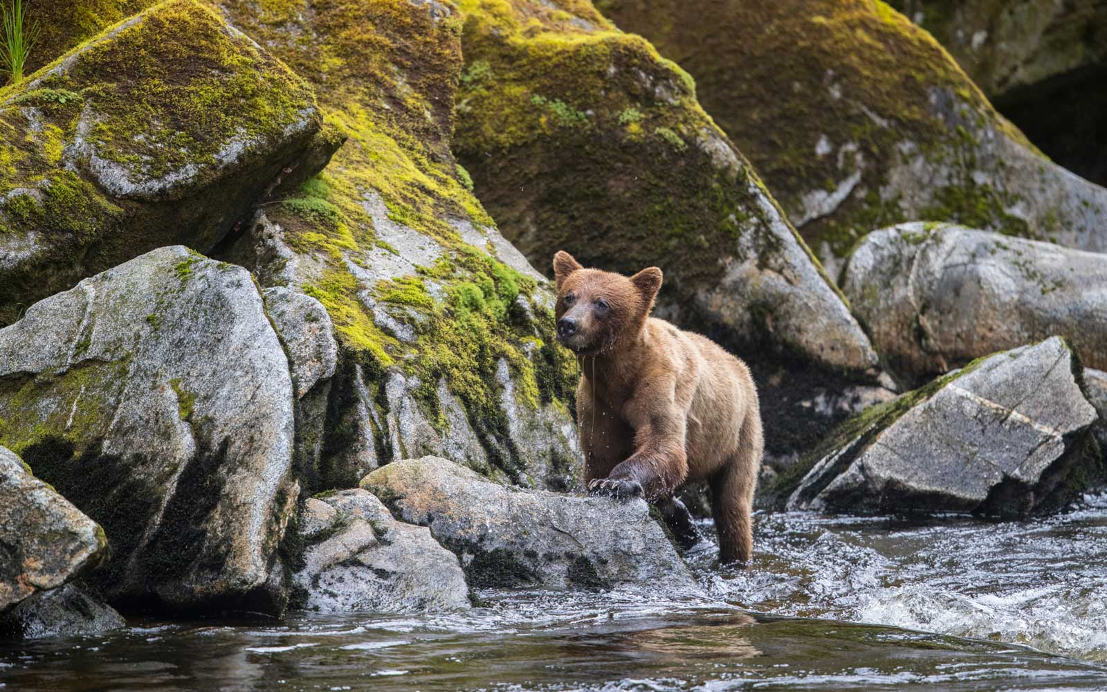 Brown bear at Anan Creek, Alaska