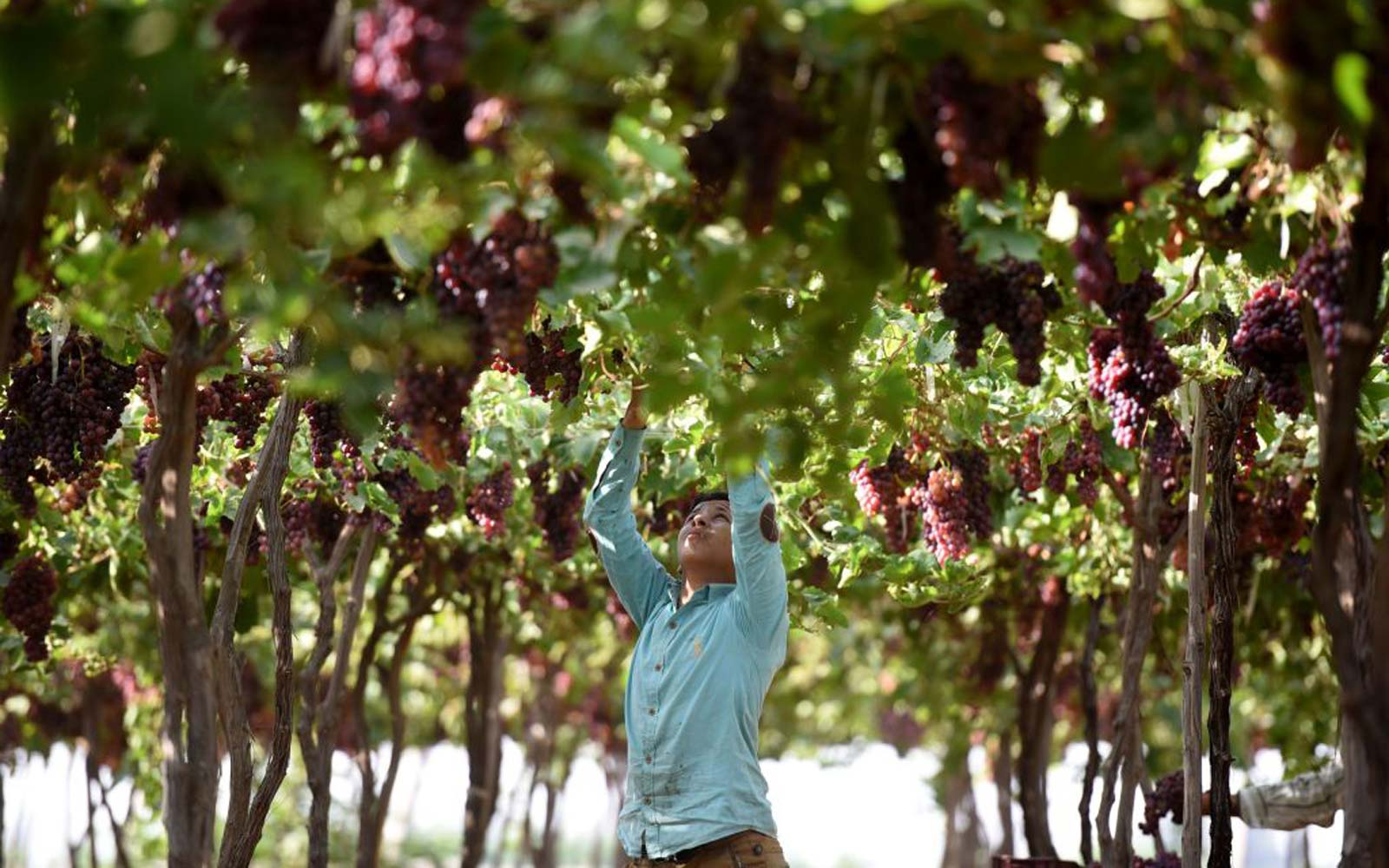 An Egyptian youth harvests grapes near the village of Kafr Dawud in the Egyptian Nile Delta province of al-Minufiyah, north of the capital Cairo