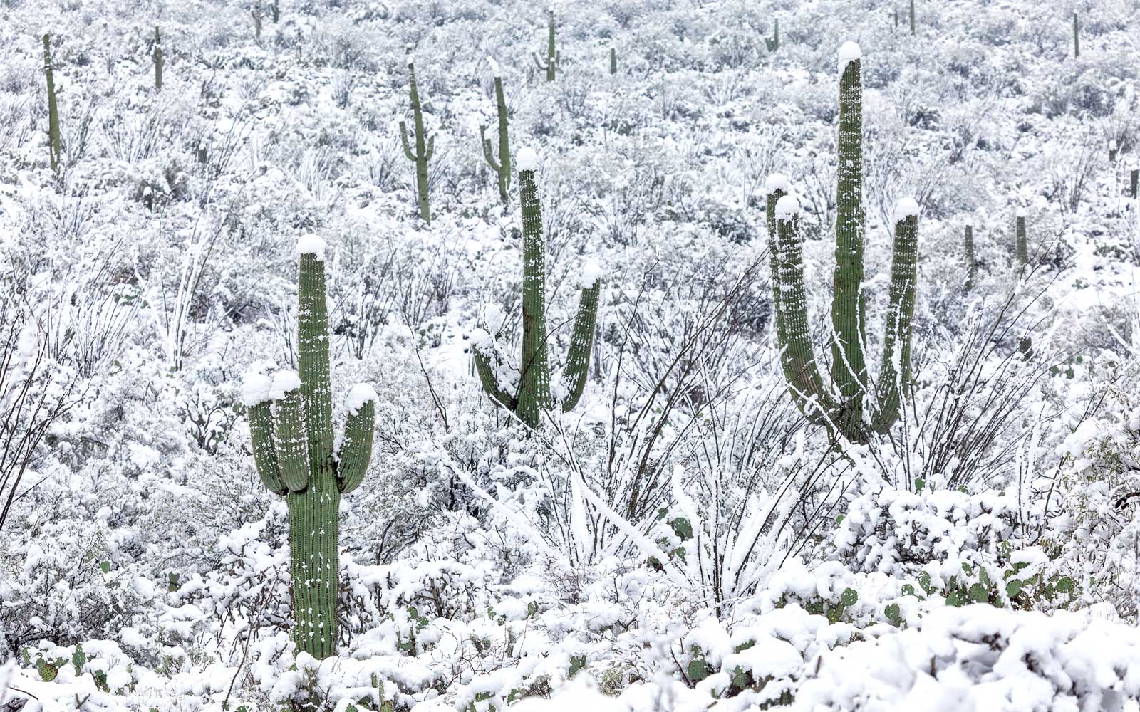 Snow on cacti in Tucson, Arizona