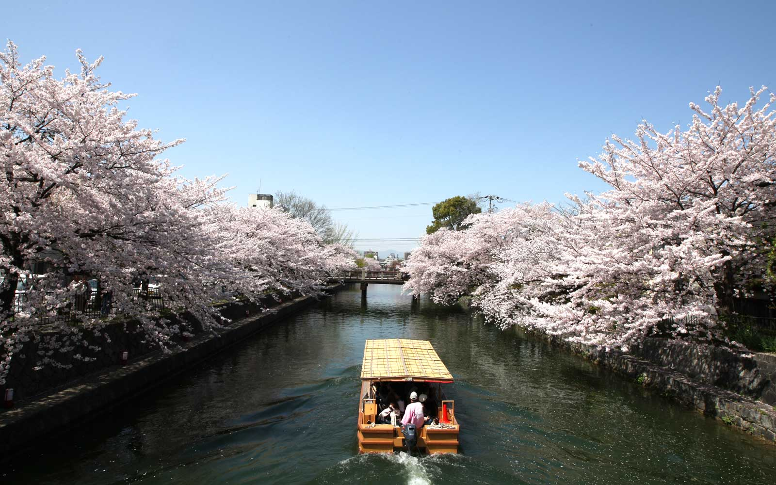 Ferry on the canal in Kyoto during cherry blossom season