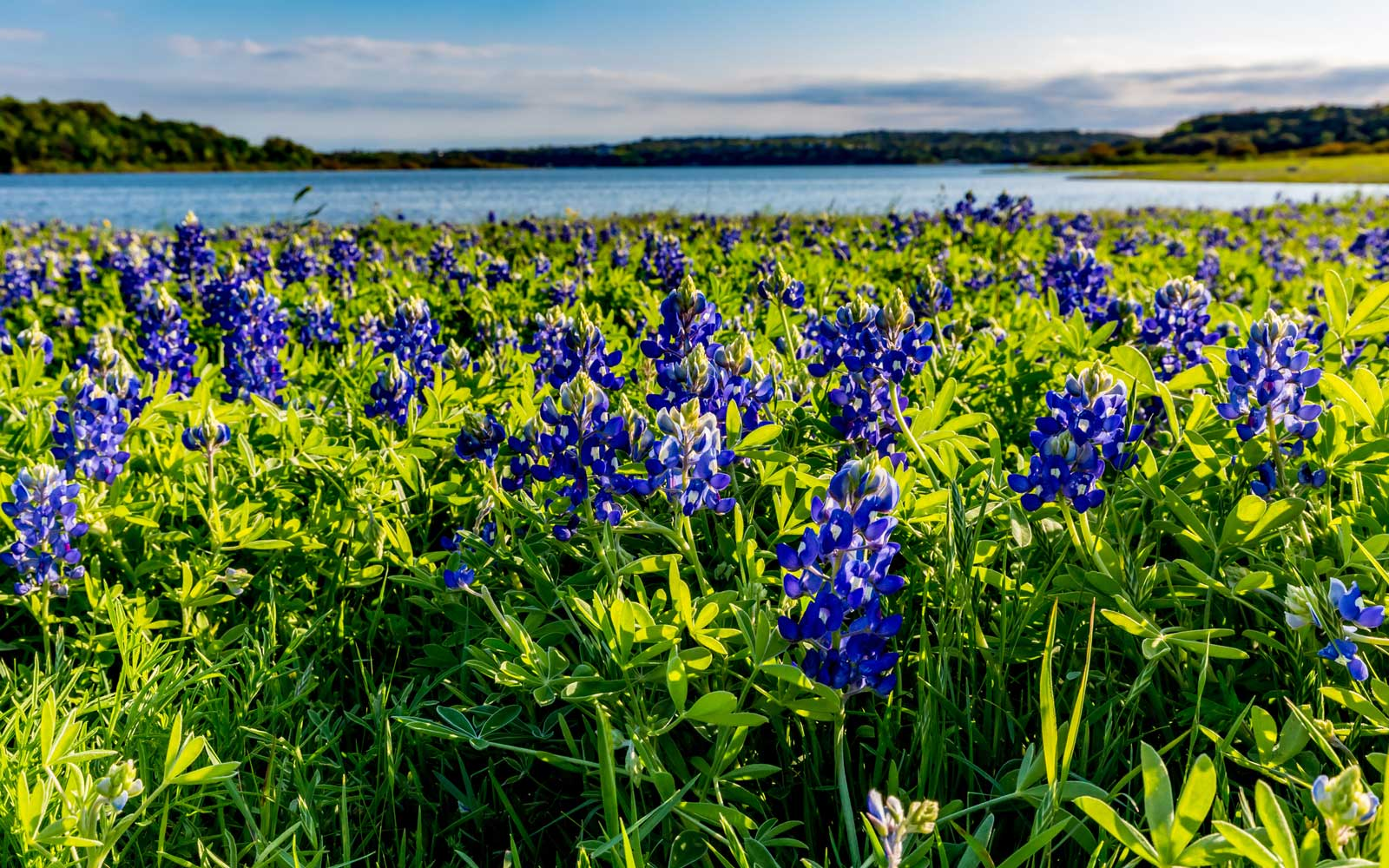 Texas Bluebonnets in bloom neat Austin