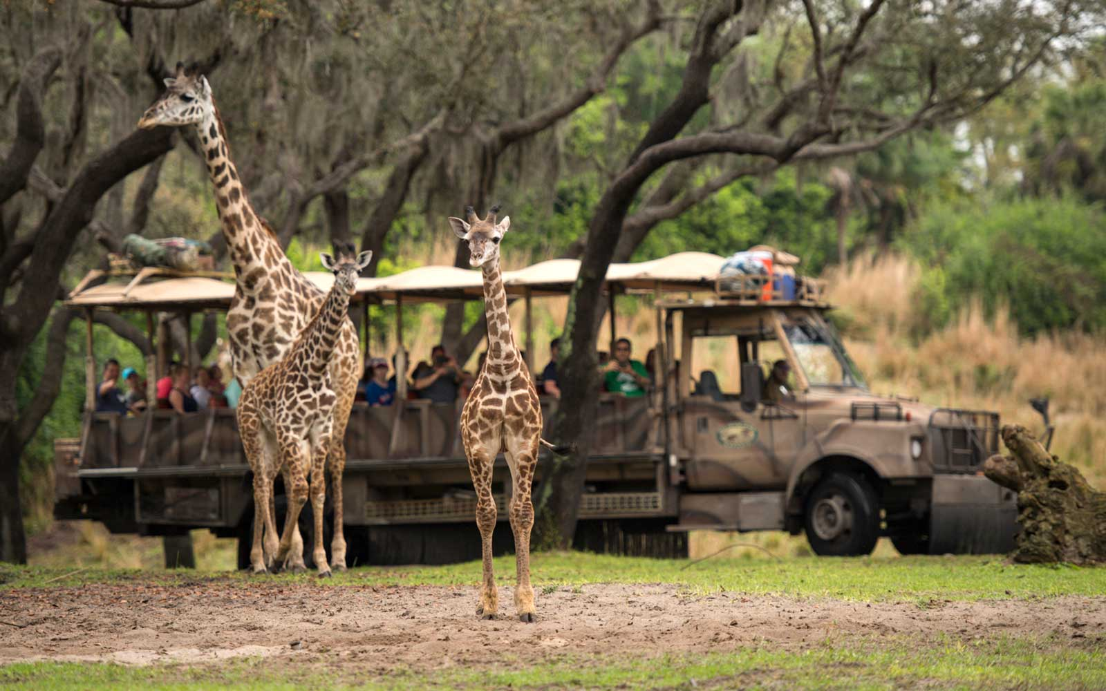 Walt Disney World's Animal Kingdom Giraffe Family