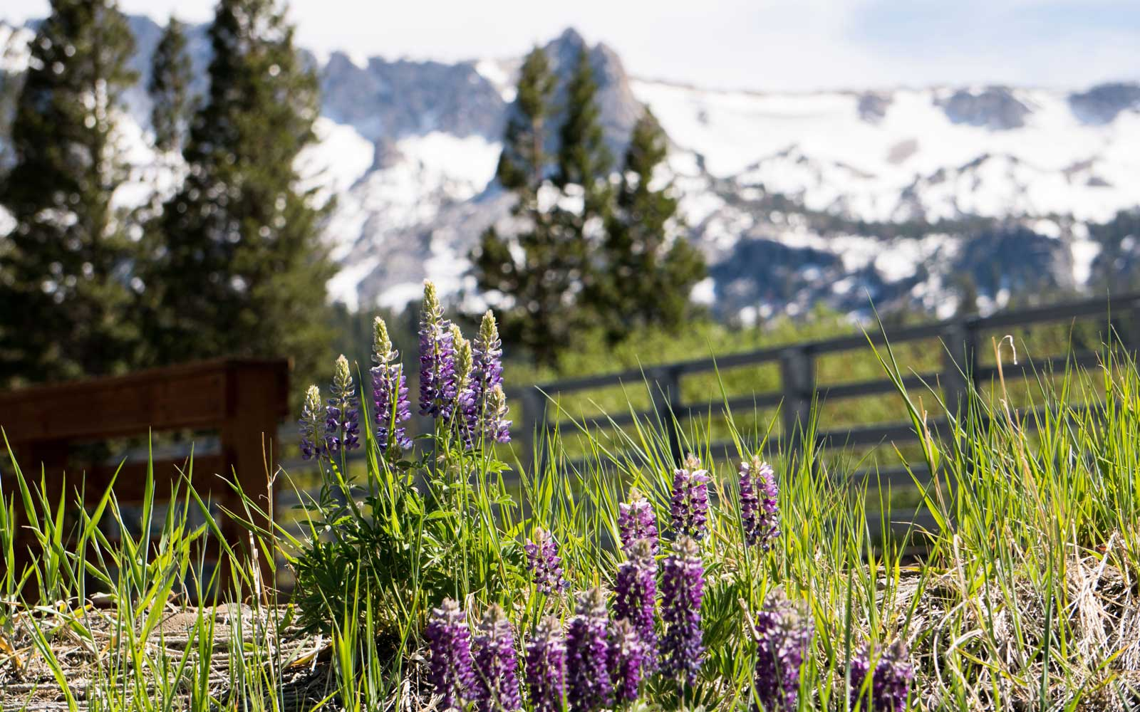 Purple wildflowers at Twin Lakes, in California