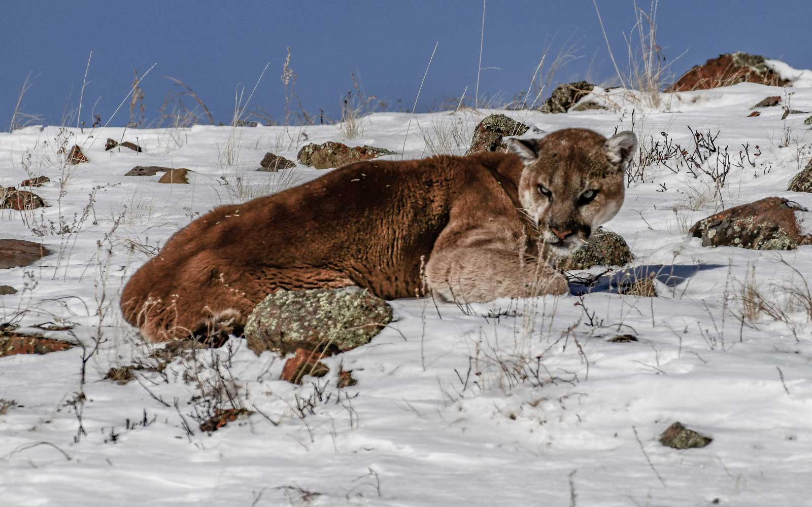 Mountain Lion at Yellowstone National Park