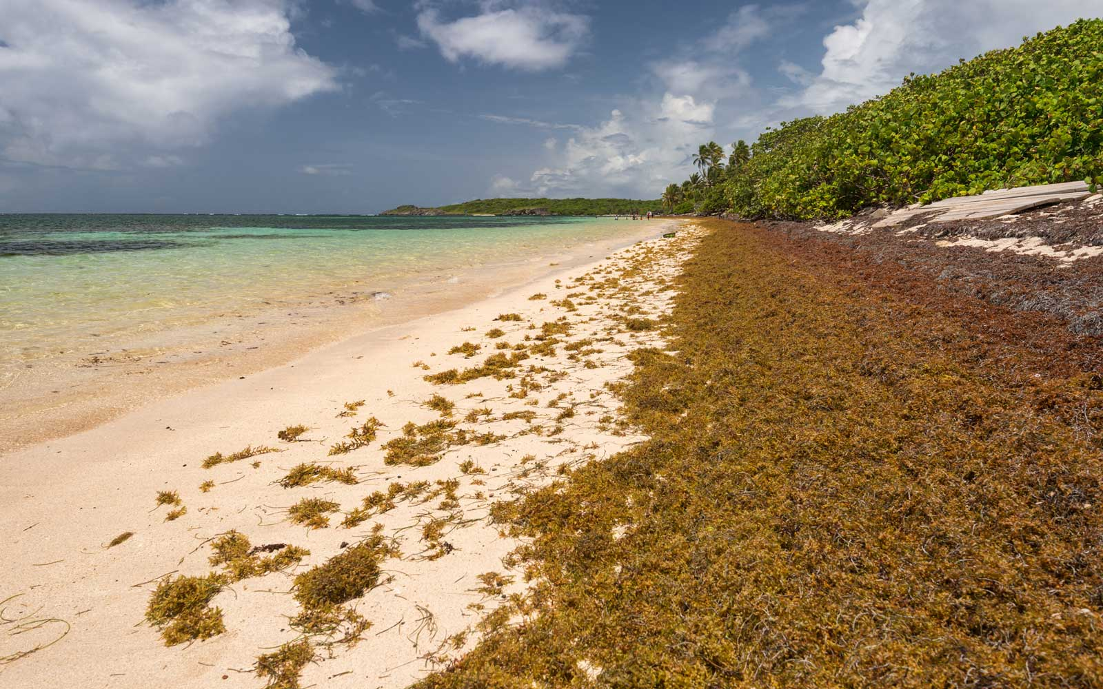 Sargassum seaweed bloom - out of control