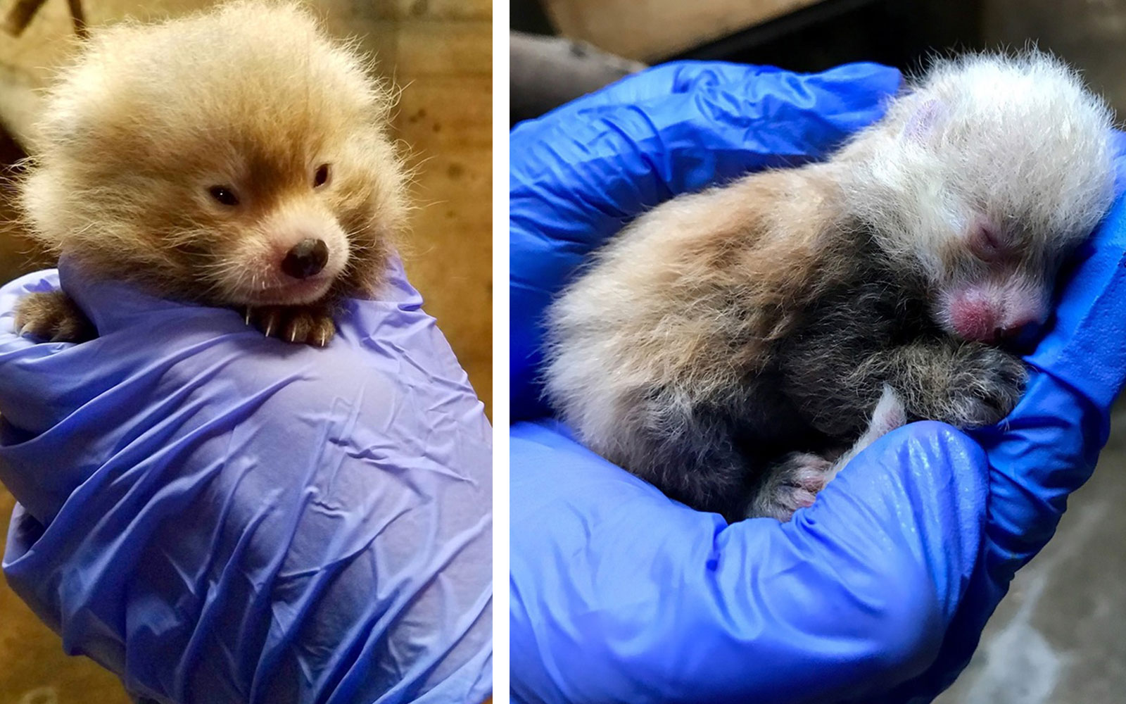 Rare Red Panda Triplets Born at Kansas City Zoo