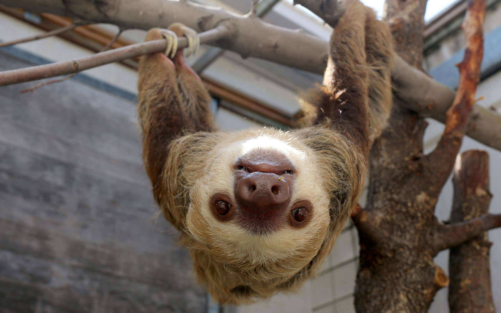 The Indianapolis Zoo Welcomes Six Adorable Rescue Sloths From Panama