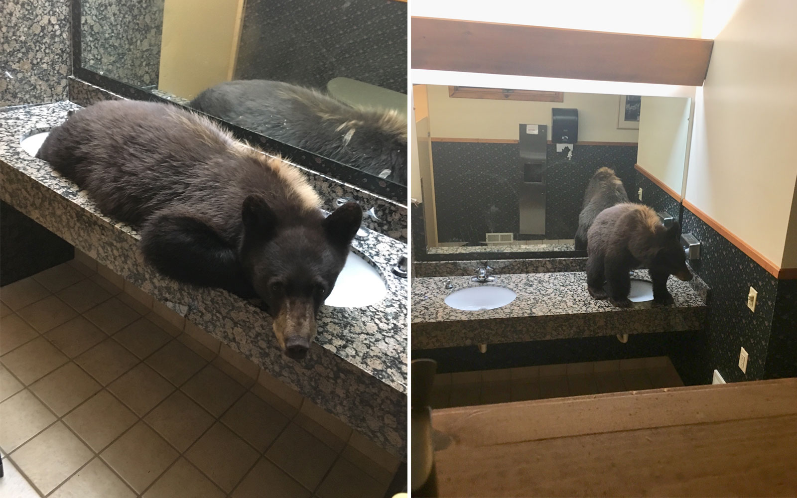 Little Black Bear Found Relaxing On Restroom Countertop at Montana Lodge