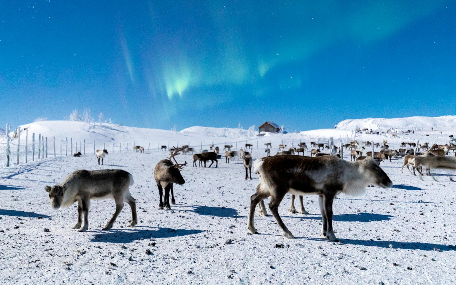 Flock of reindeer at Abisko National Park, Sweden