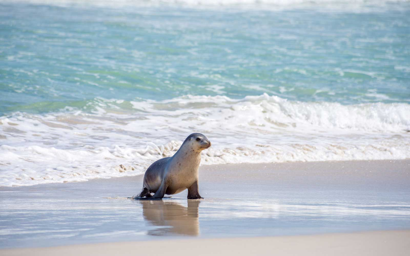 Sea lion, Seal Bay Conservation Park, Kangaroo Island, SA, Australia