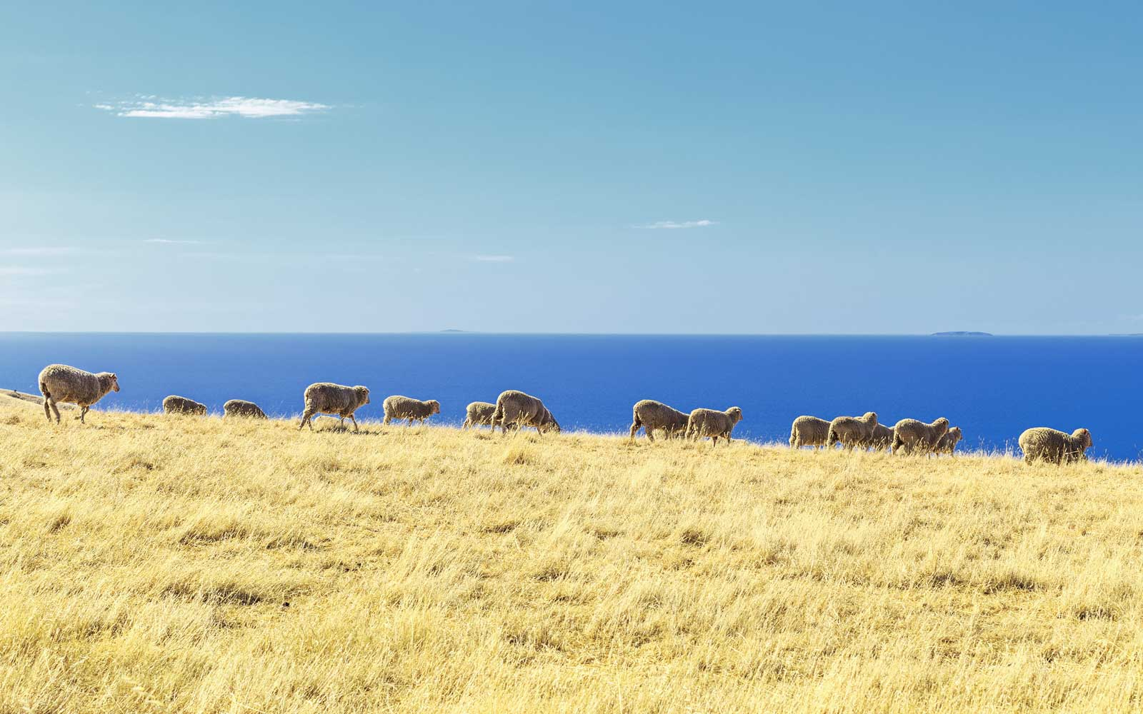 Sheep in a field, Kangaroo Island, Australia