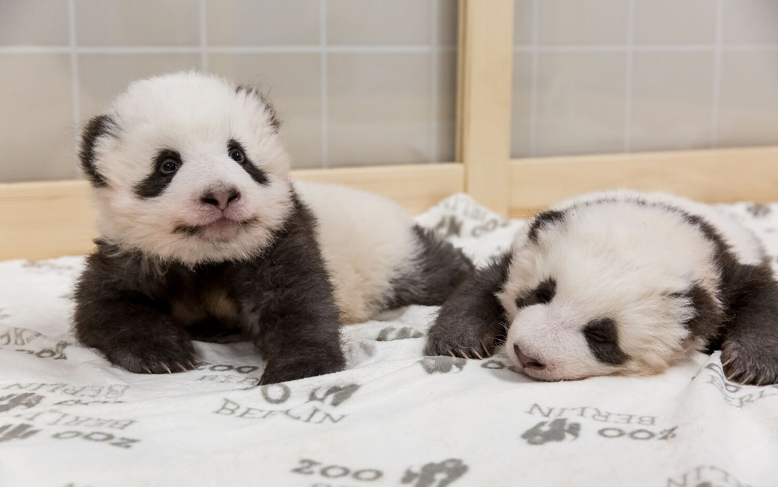 Twin panda cubs at Berlin Zoo