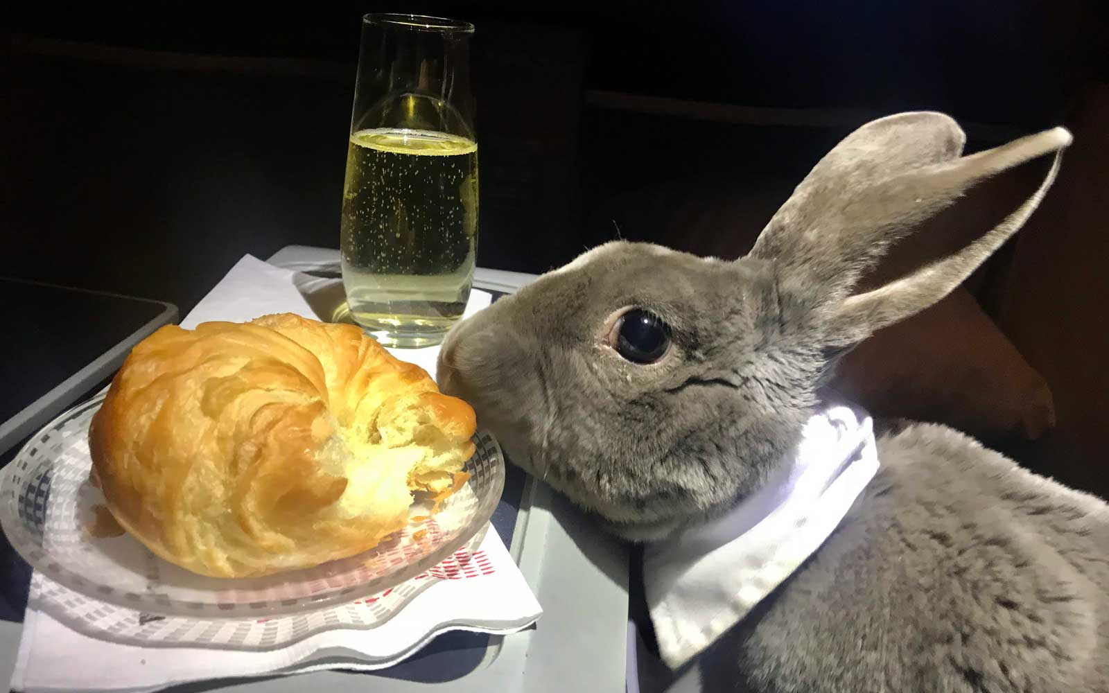 Coco, the business class bunny, enjoys a croissant and champagne on the plane.