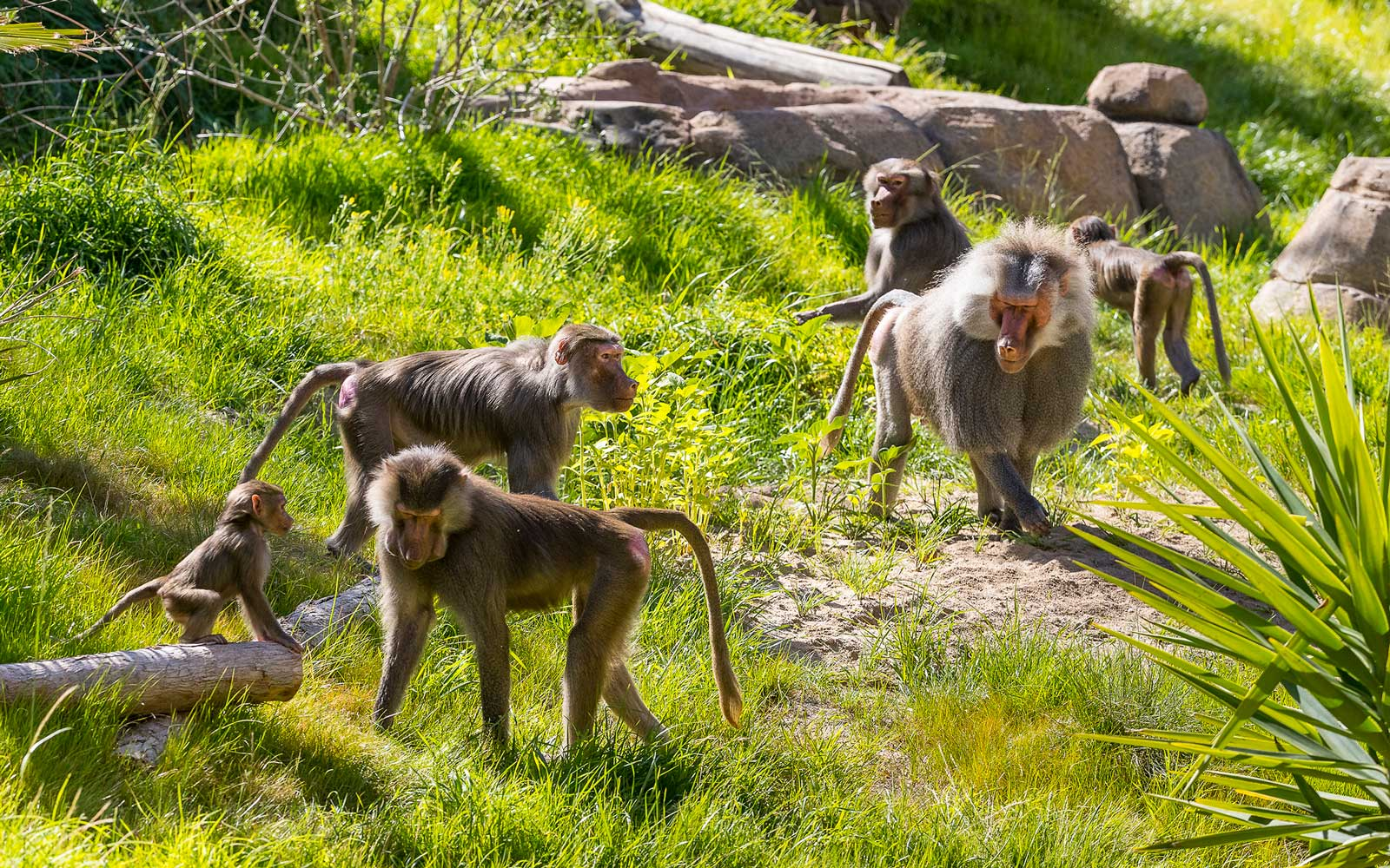 Baboons at San Diego zoo