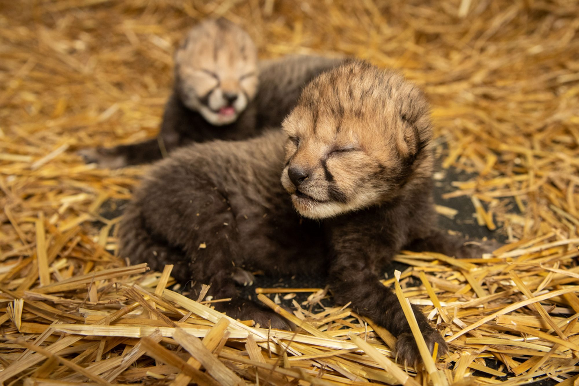Two Cheetah Cubs Born Via IVF for the First Time in a 'Ground-Breaking Procedure'