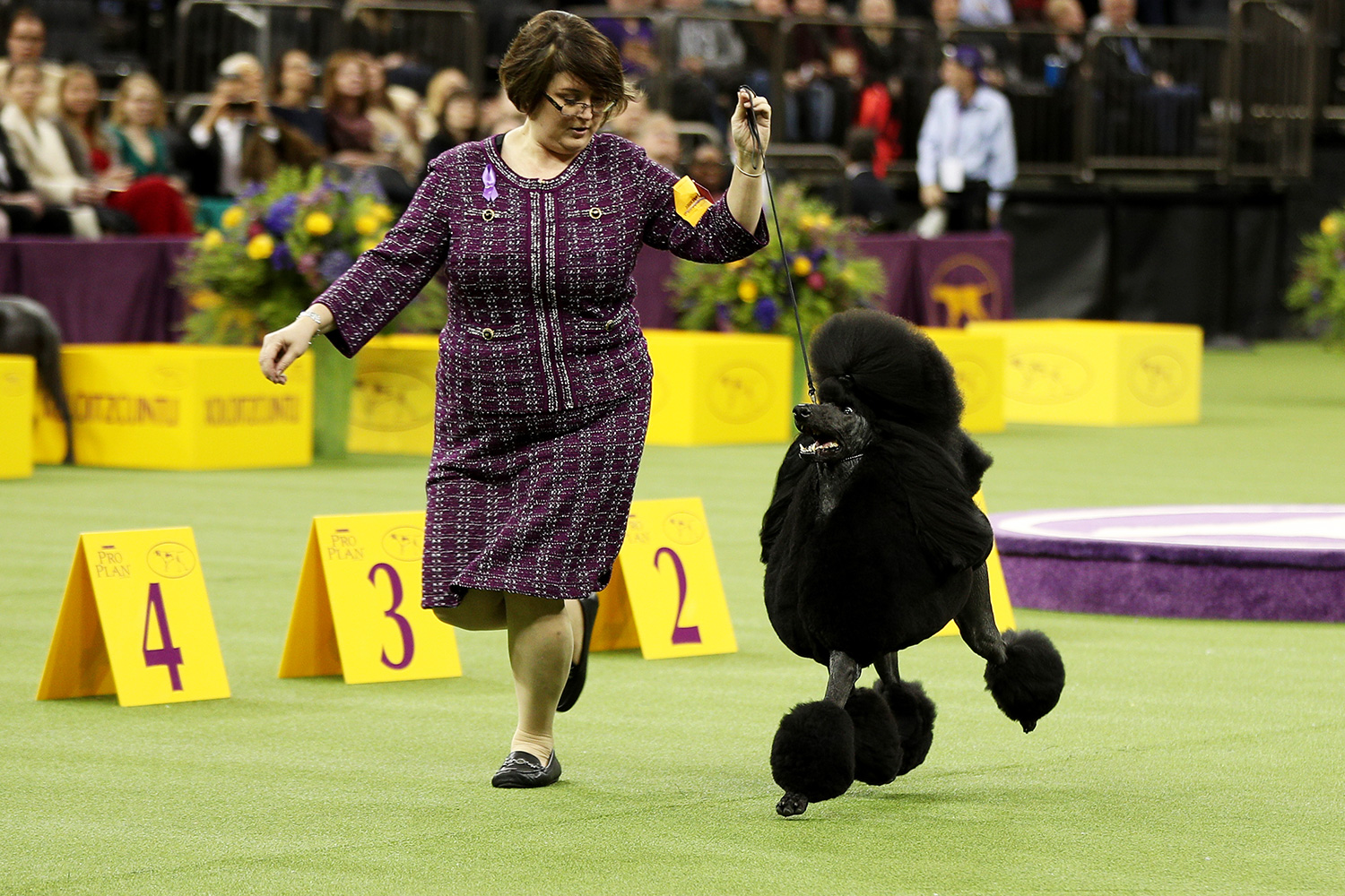 Poodle at Westminster Kennel Club Dog Show