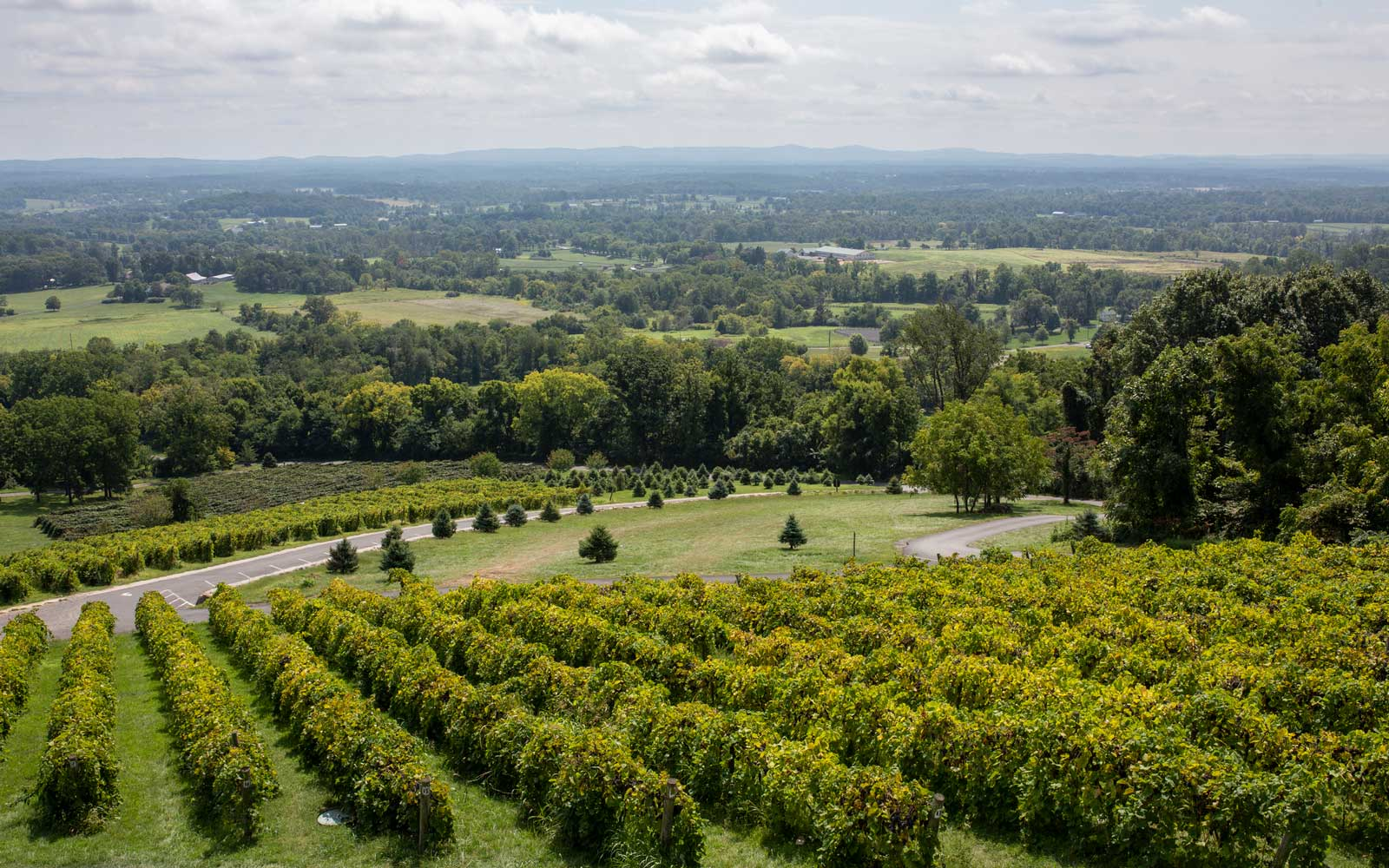 Vineyard in North Virginia