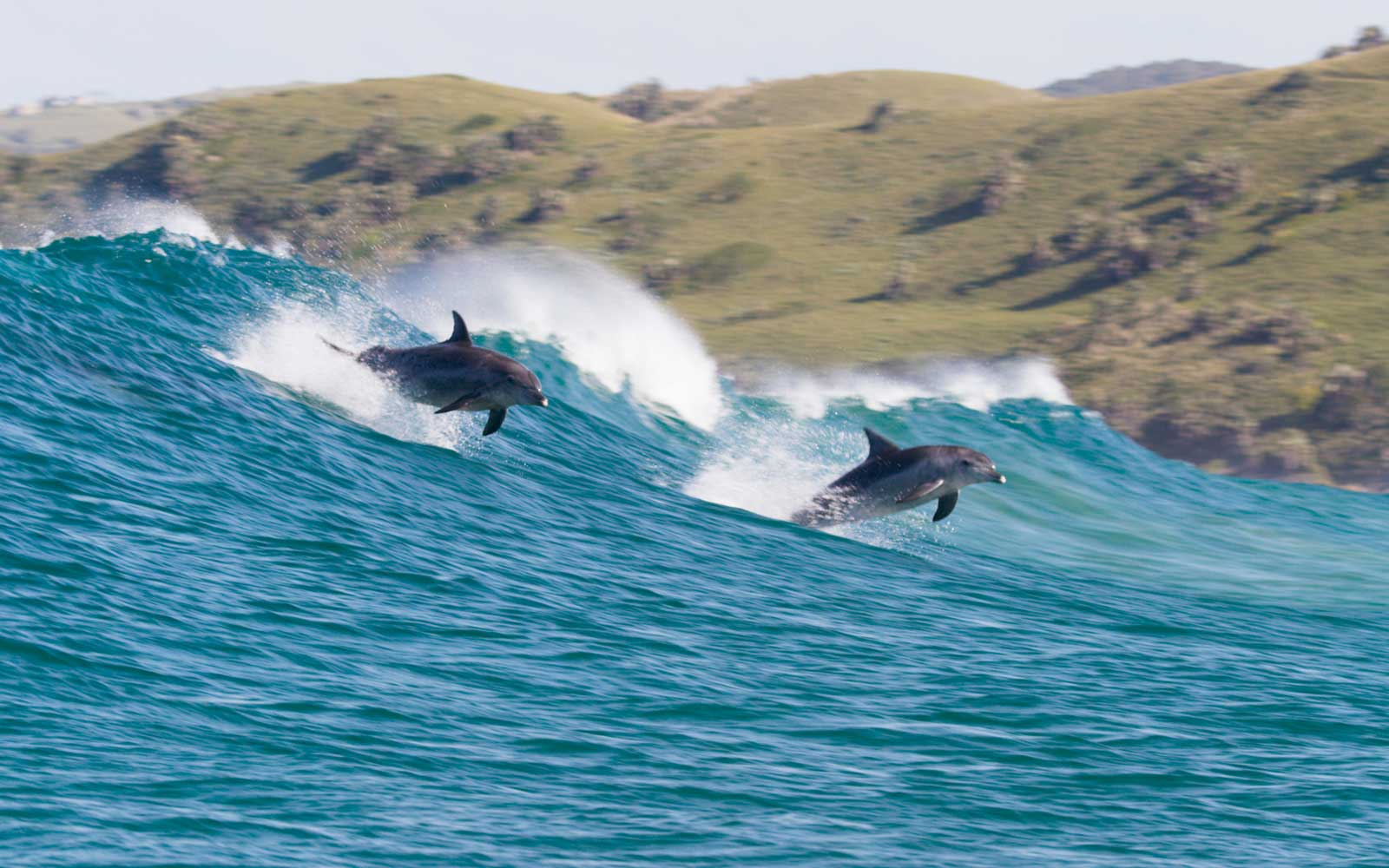 Dolphins in the water