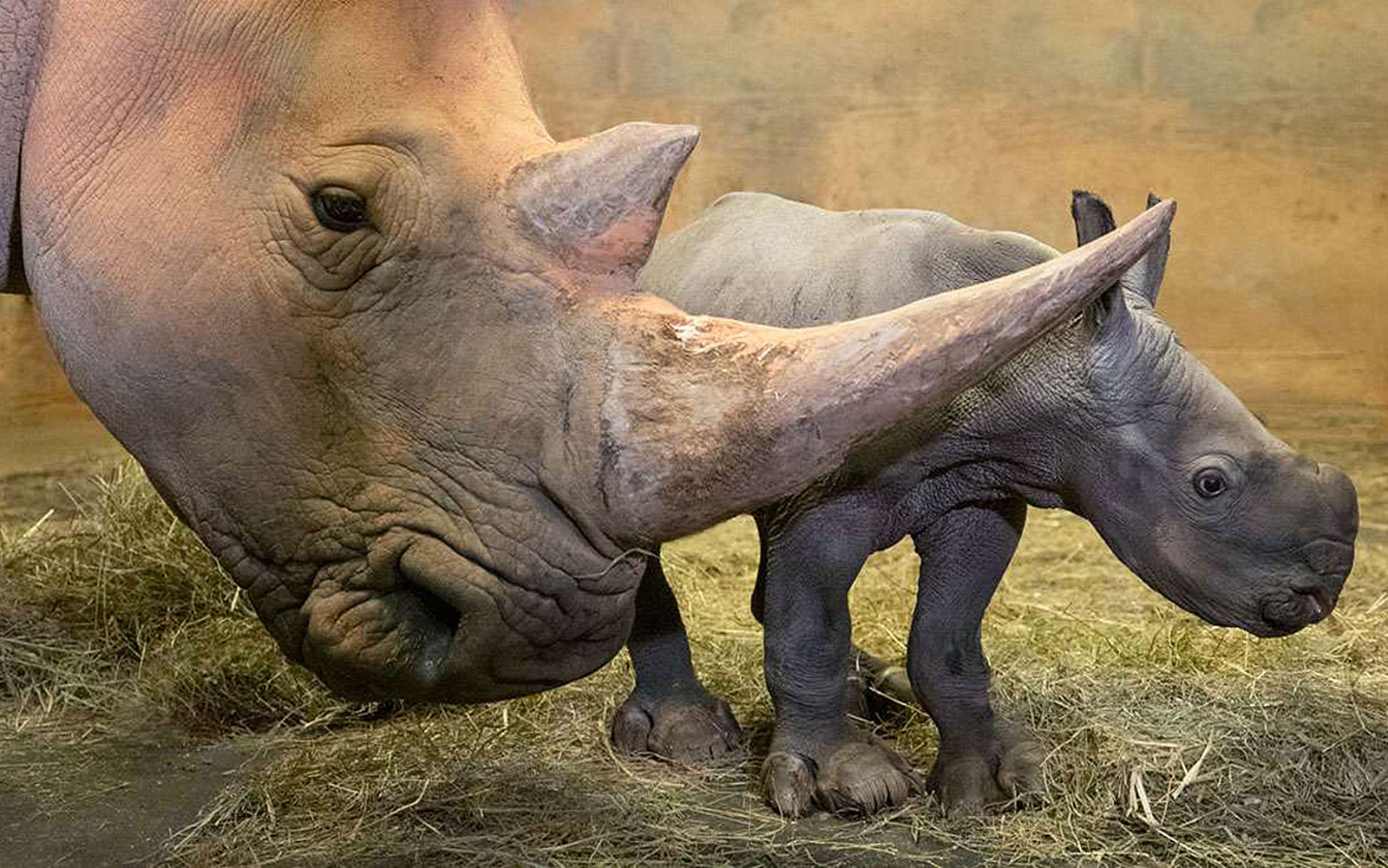 Southern White Rhino mother and calf