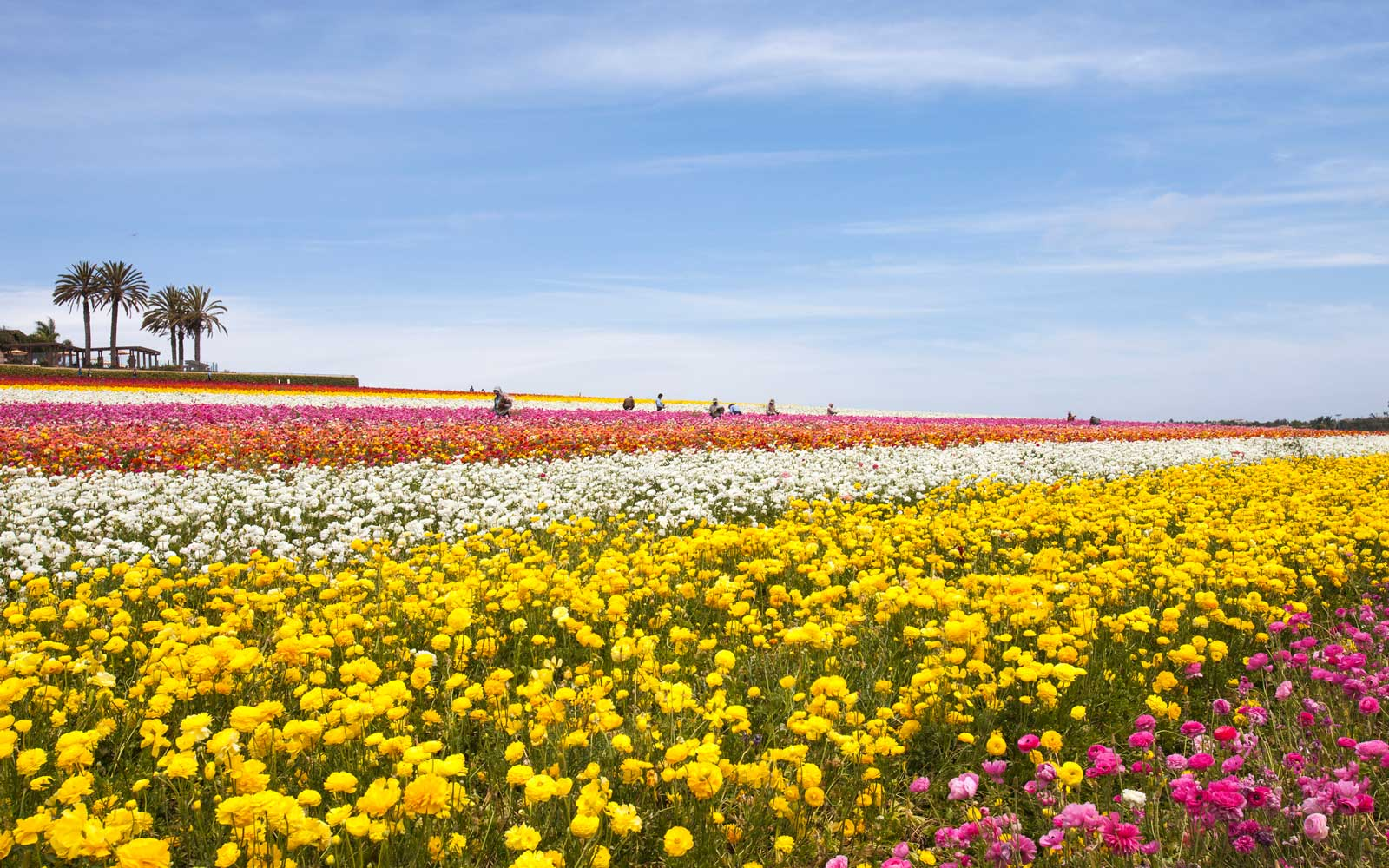 A field of bright flowers on a clear summer day in Carlsbad, California