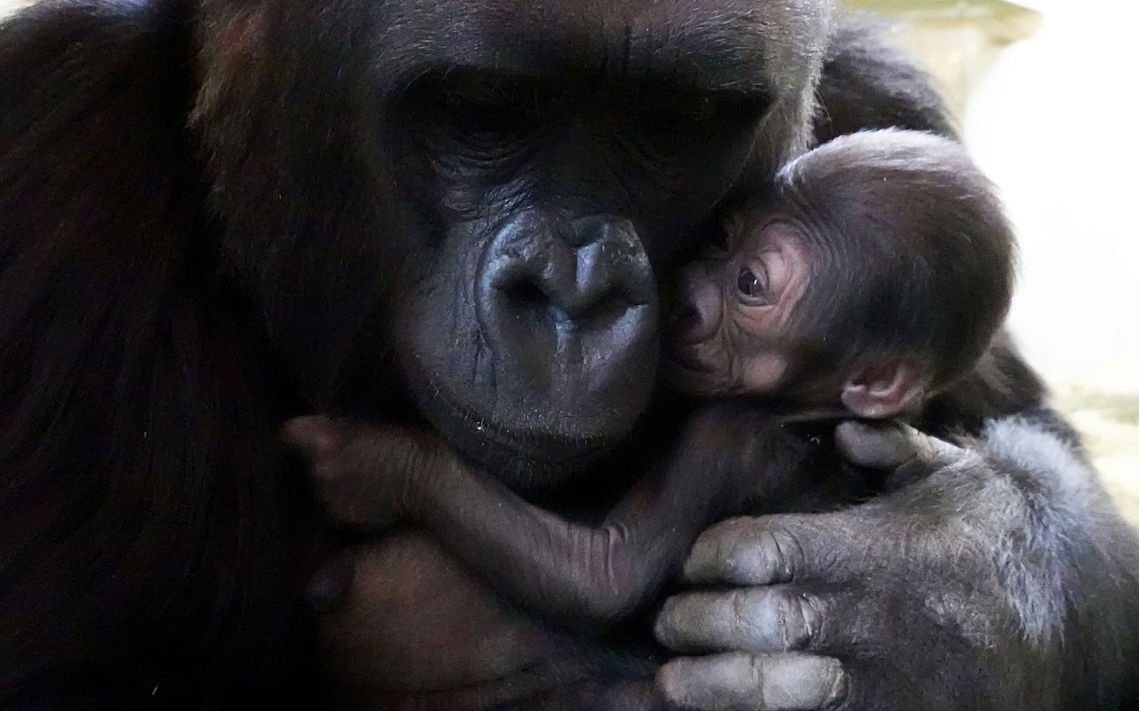 Gorilla Uzumma and baby
