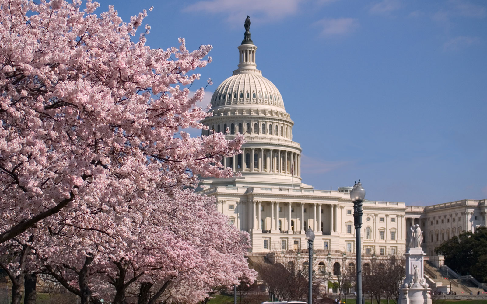 Cherry Blossoms and Capitol Building