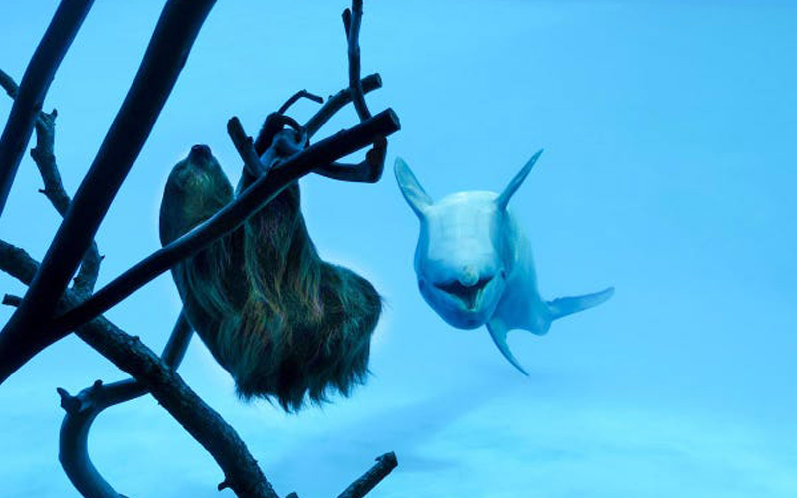 dolphin swims upside down beside a sloth