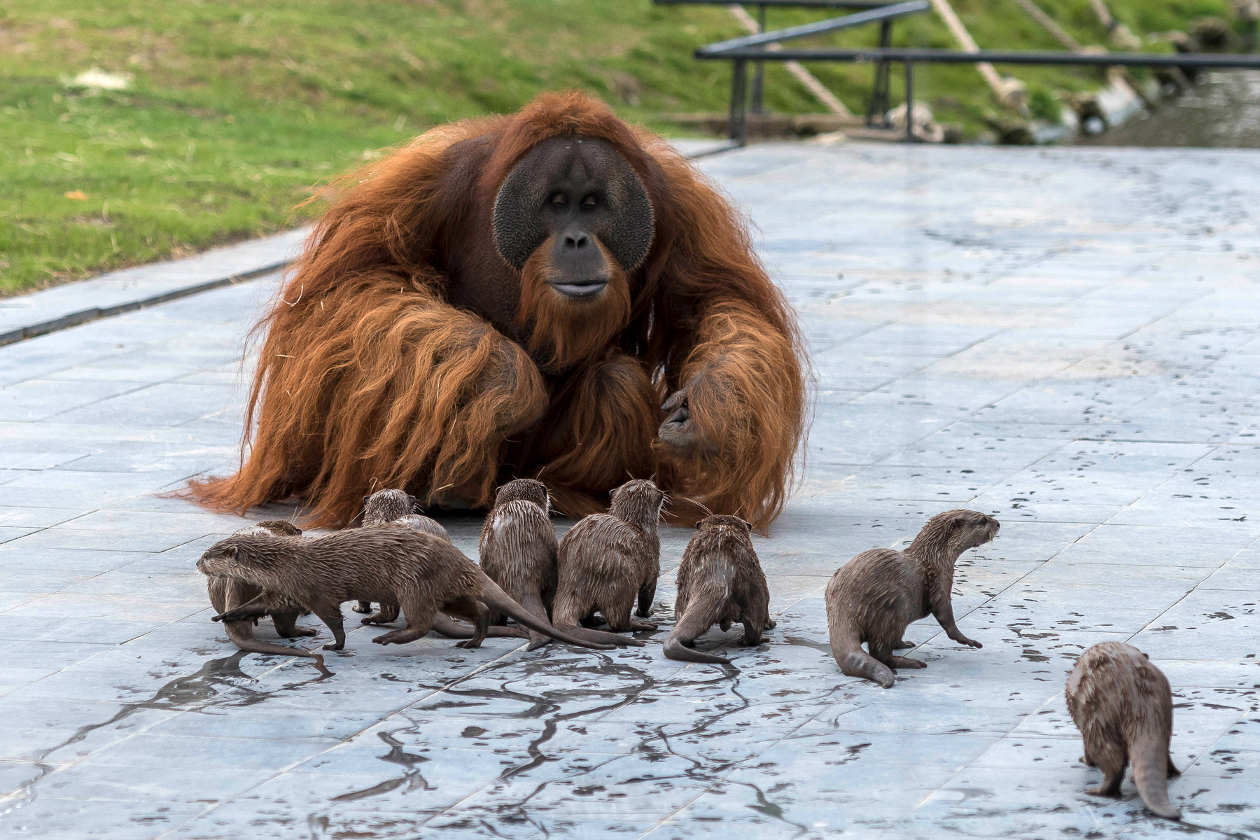 These Otters and Orangutans in Belgium Are Best Friends — and the Photos Will Melt Your Heart