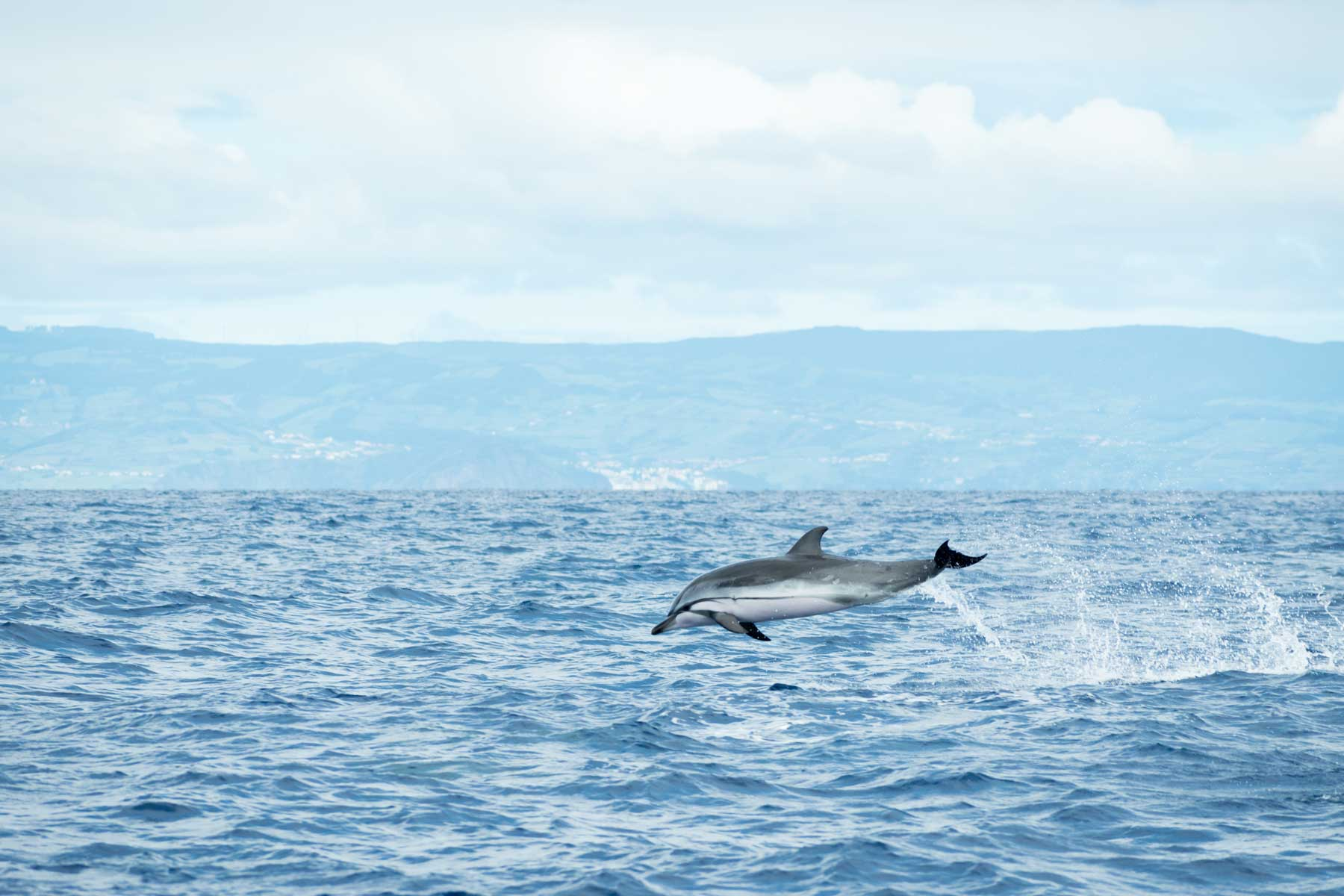 A Striped Dolphin (Stenella coeruleoalba) leaps out of the water in the Atlantic Ocean off the coast of Pico Island in the Azores archipelago