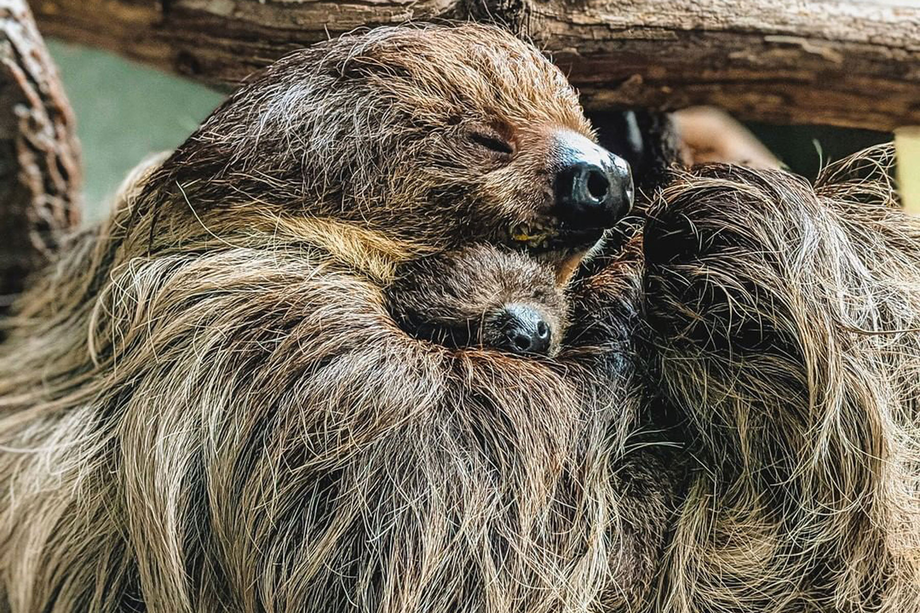 infant and mother sloth