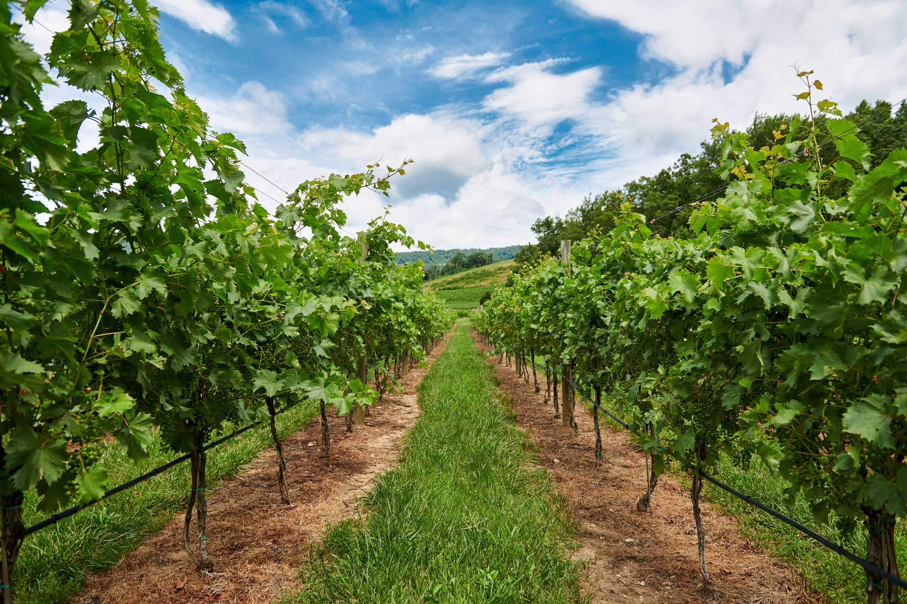 Grape vines under a blue sky in Charlottesville, Virginia