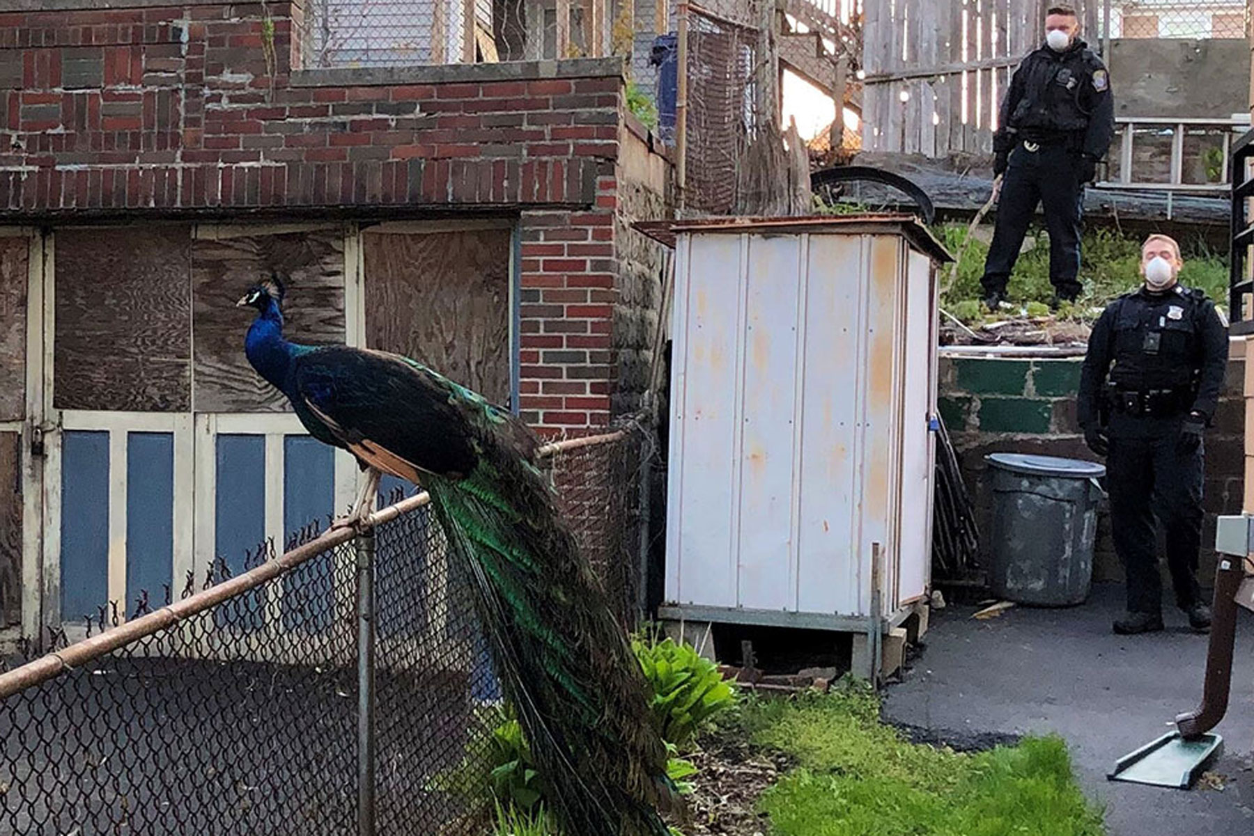 peacock and police officers