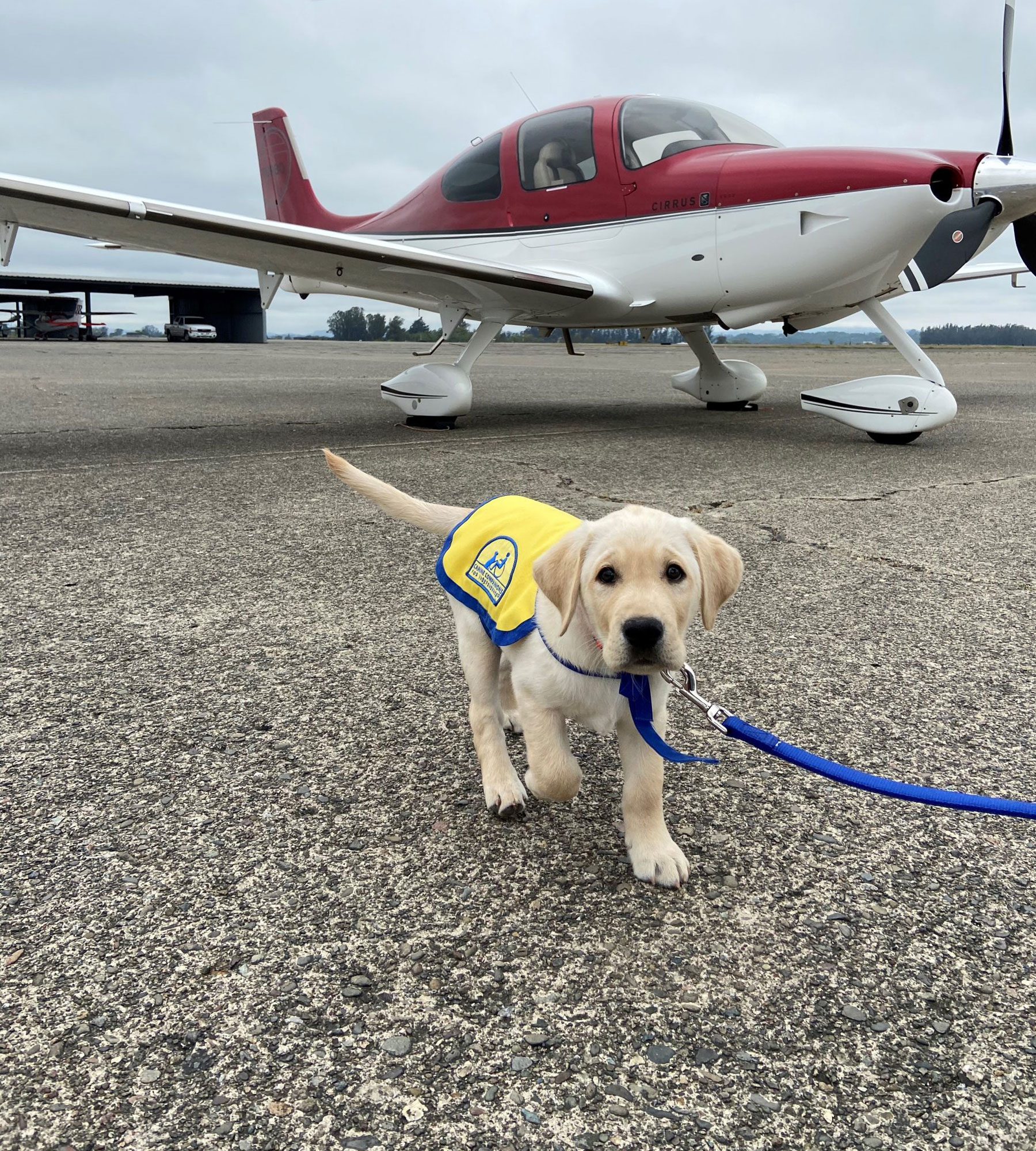 golden retriever service puppy in training and a parked airplane