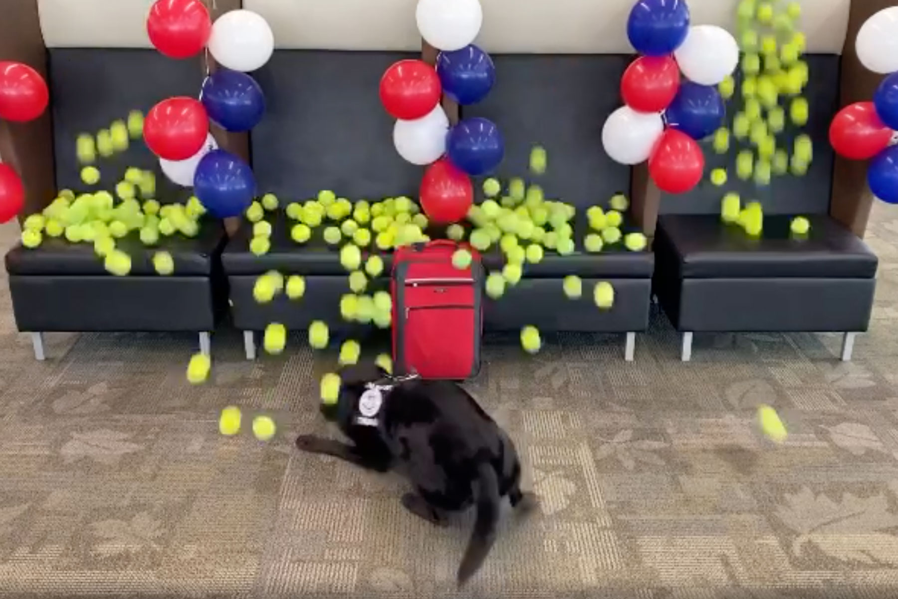 TSA dog gets surprised with hundreds of tennis balls