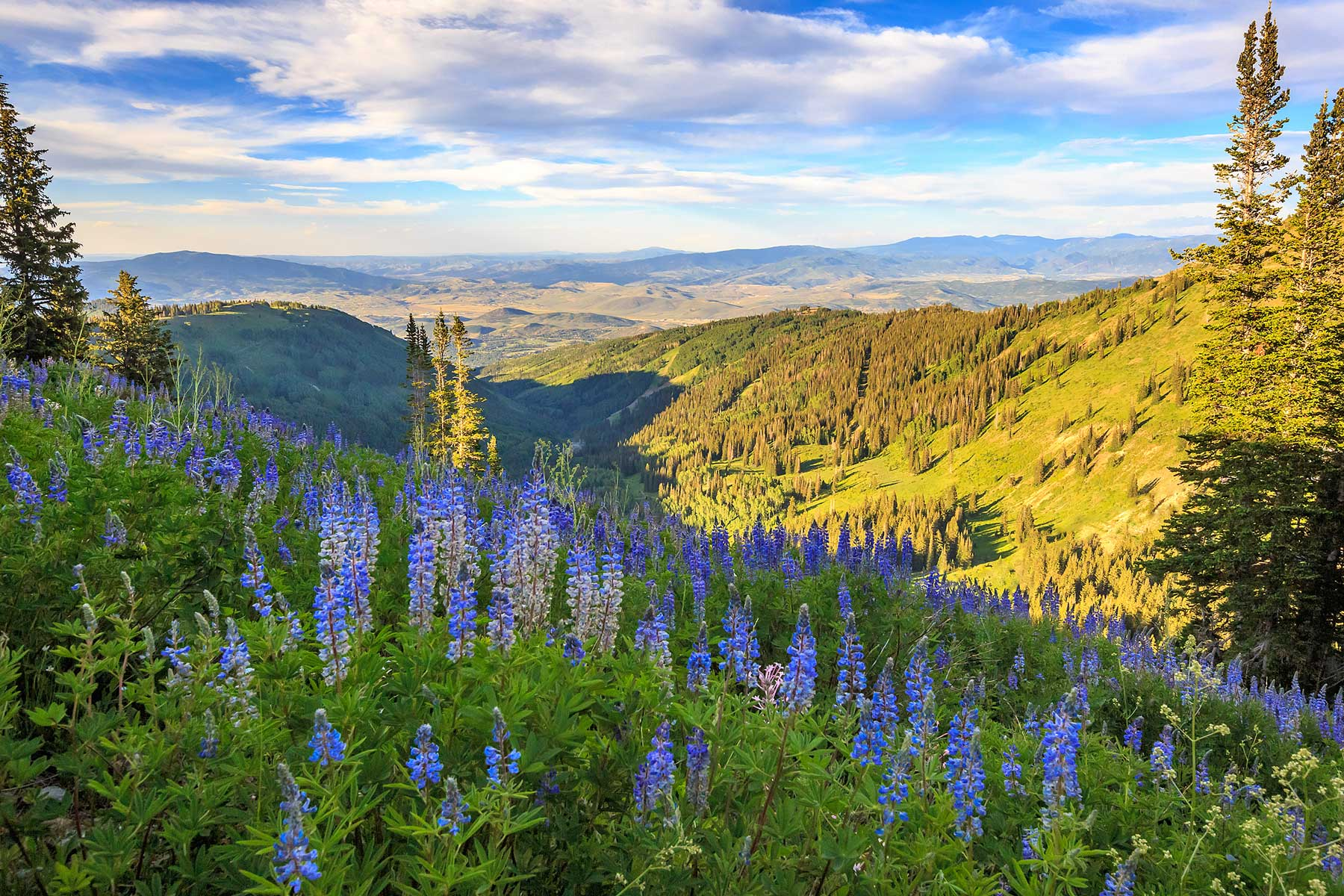 Blue lupine wildflowers above the ski runs in Park City, Utah