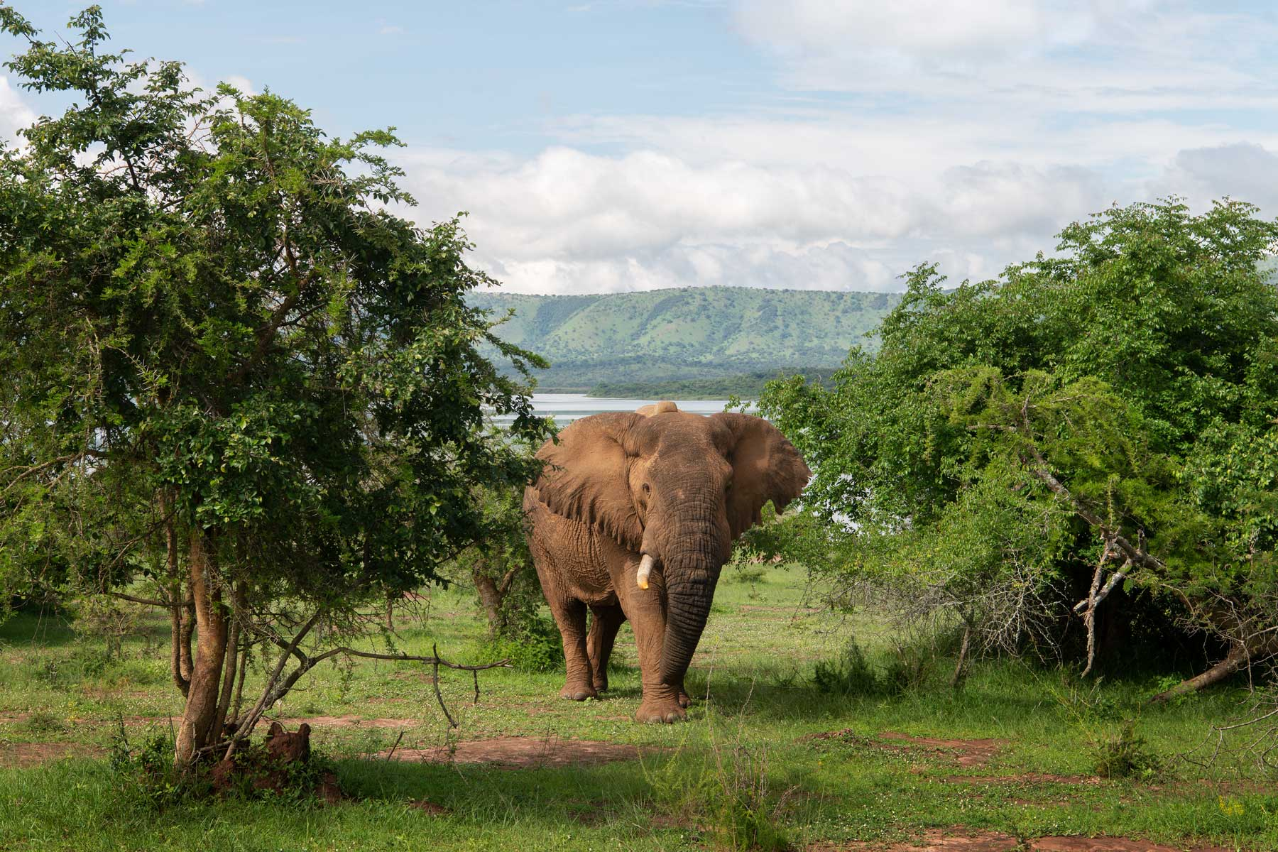 A bull elephant in Akagera National Park