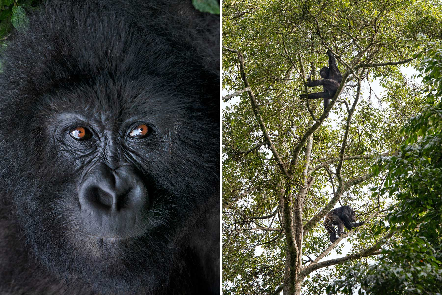 Primates in Rwanda, including a gorilla and chimpanzees