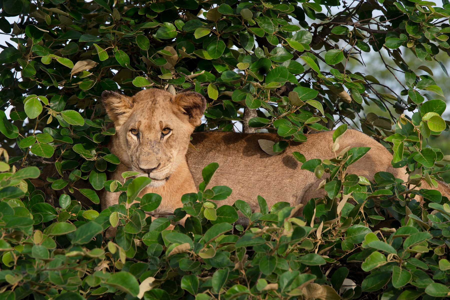 A lioness in Akagera National Park