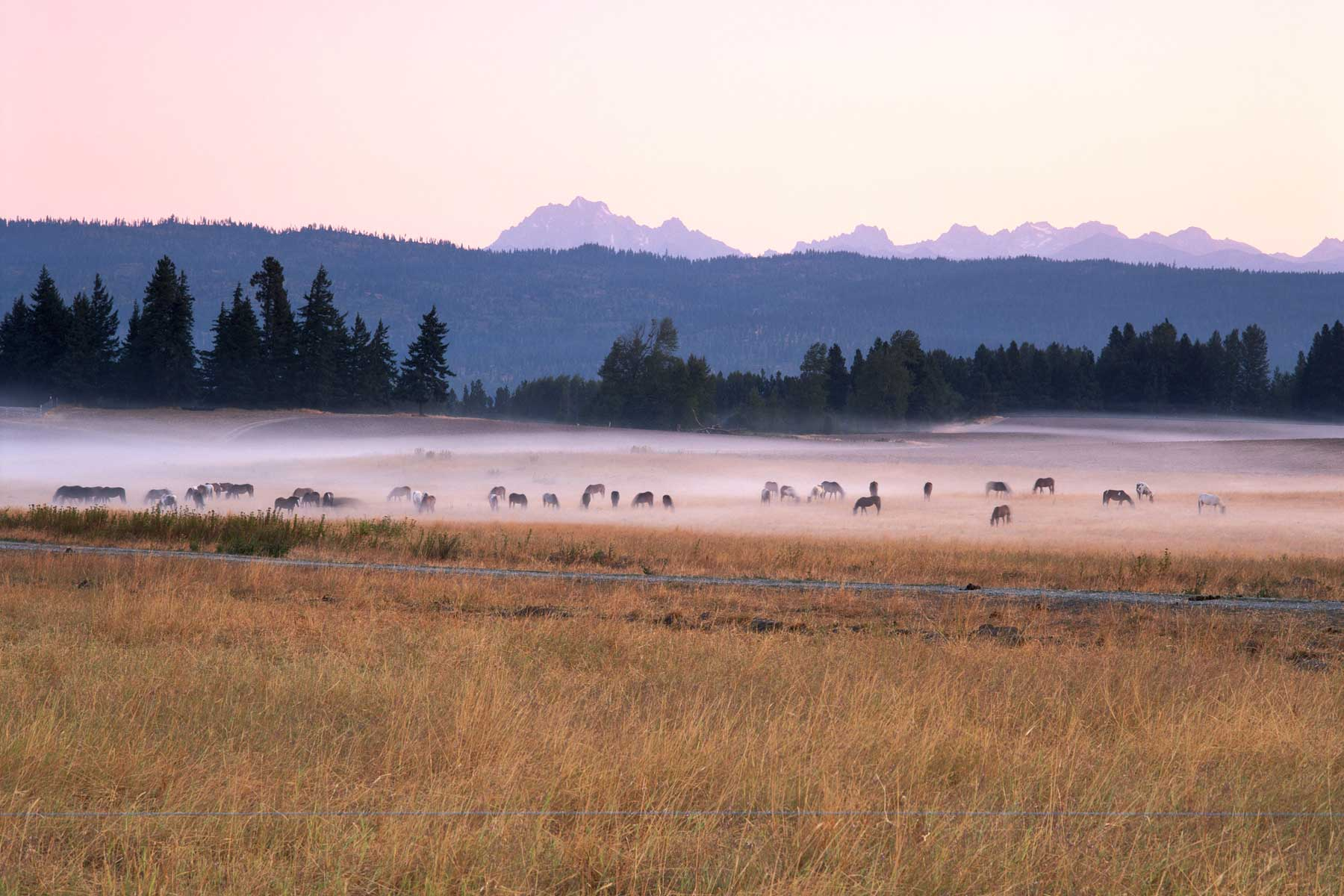 Horses grazing in dawn mist with the Cascade mountains in the background in Cle Elum, Washington