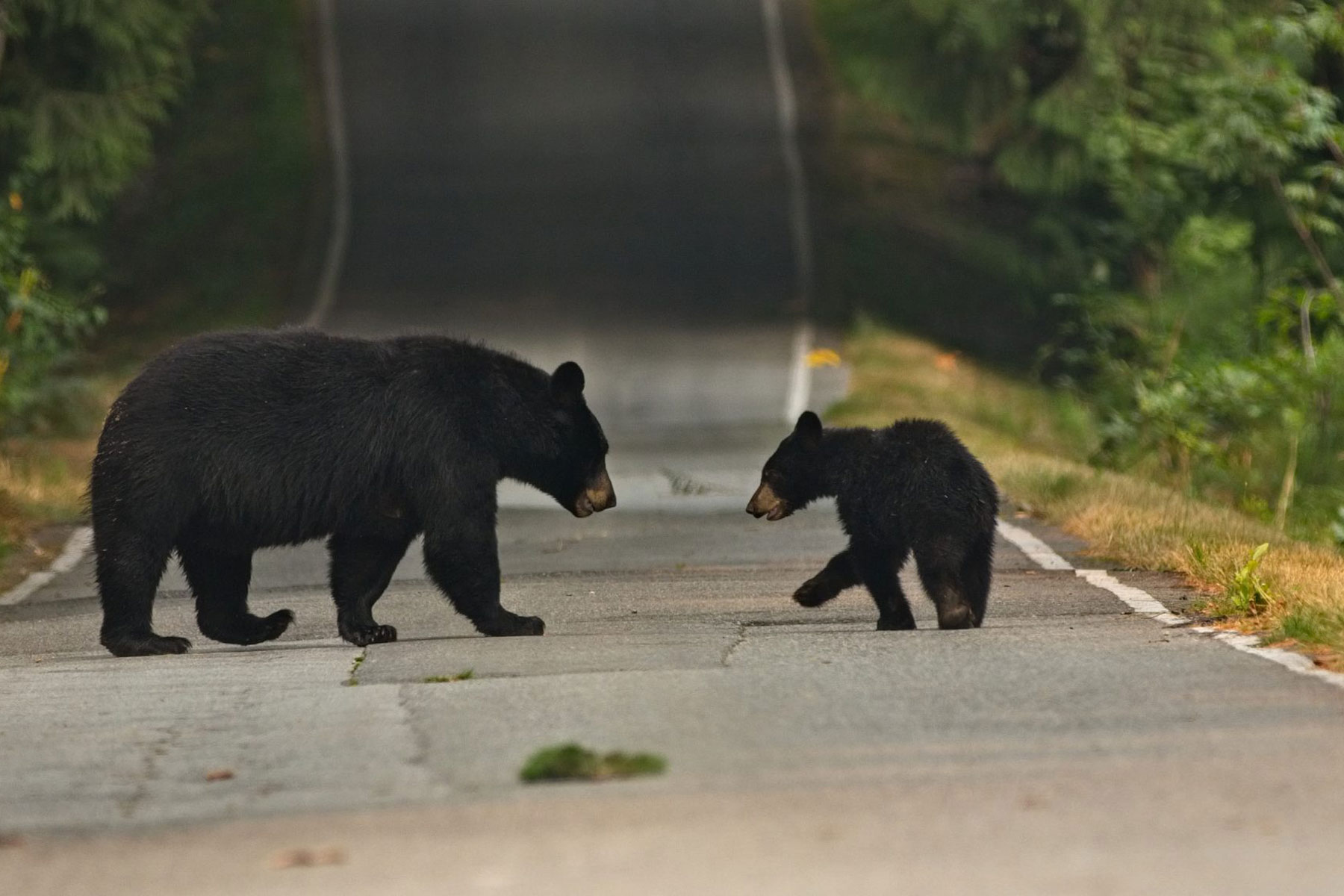 black bears standing in the road