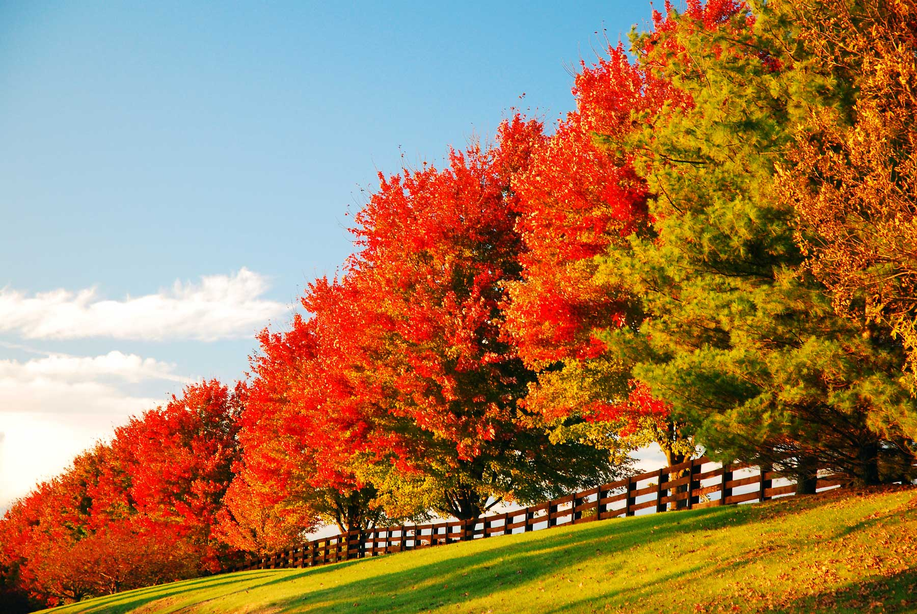 Brilliant reds and oranges burst onto fall trees along the edge of a farm