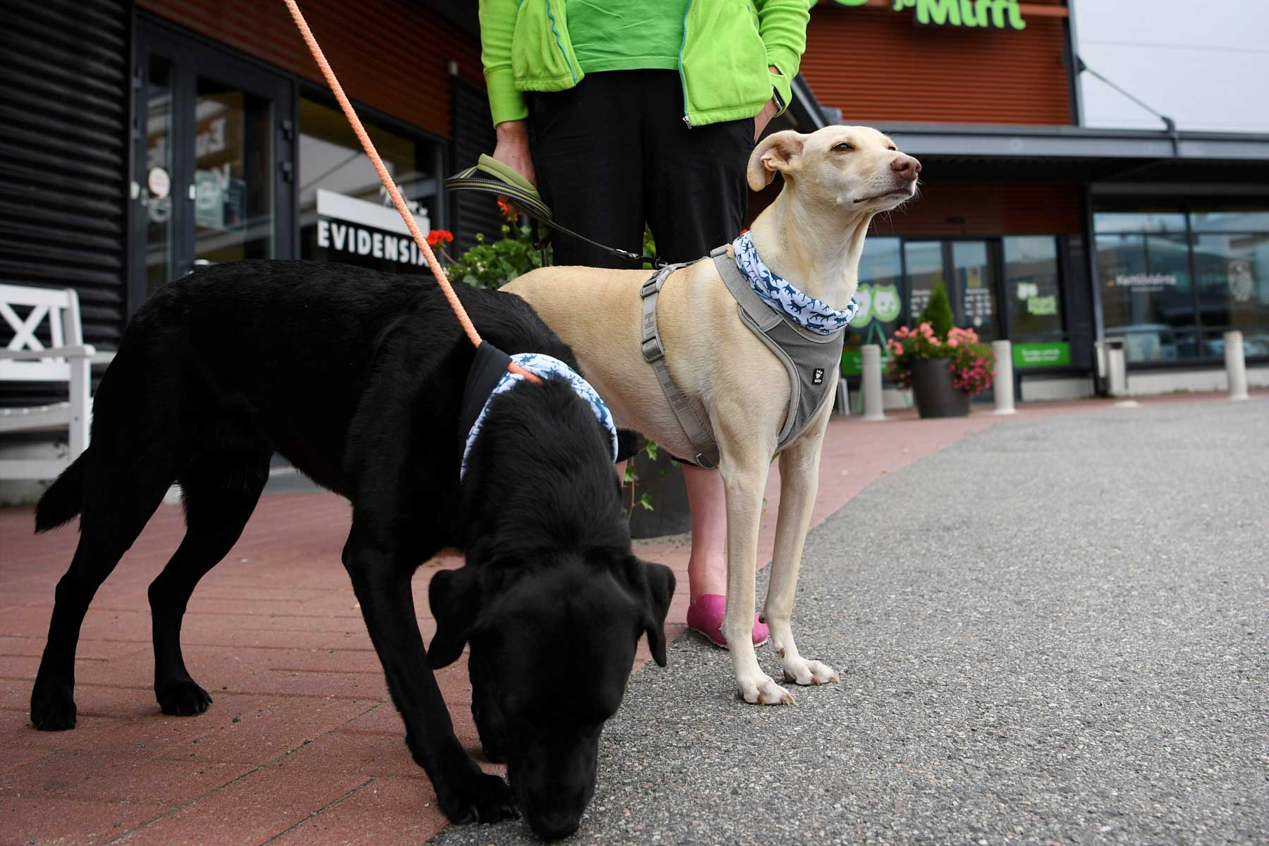 Corona virus sniffing dogs named Miina and Kössi (R) stand on the leash after being introduced at the Evidensia veterinary clinic in Vantaa, Finland on September 2, 2020.