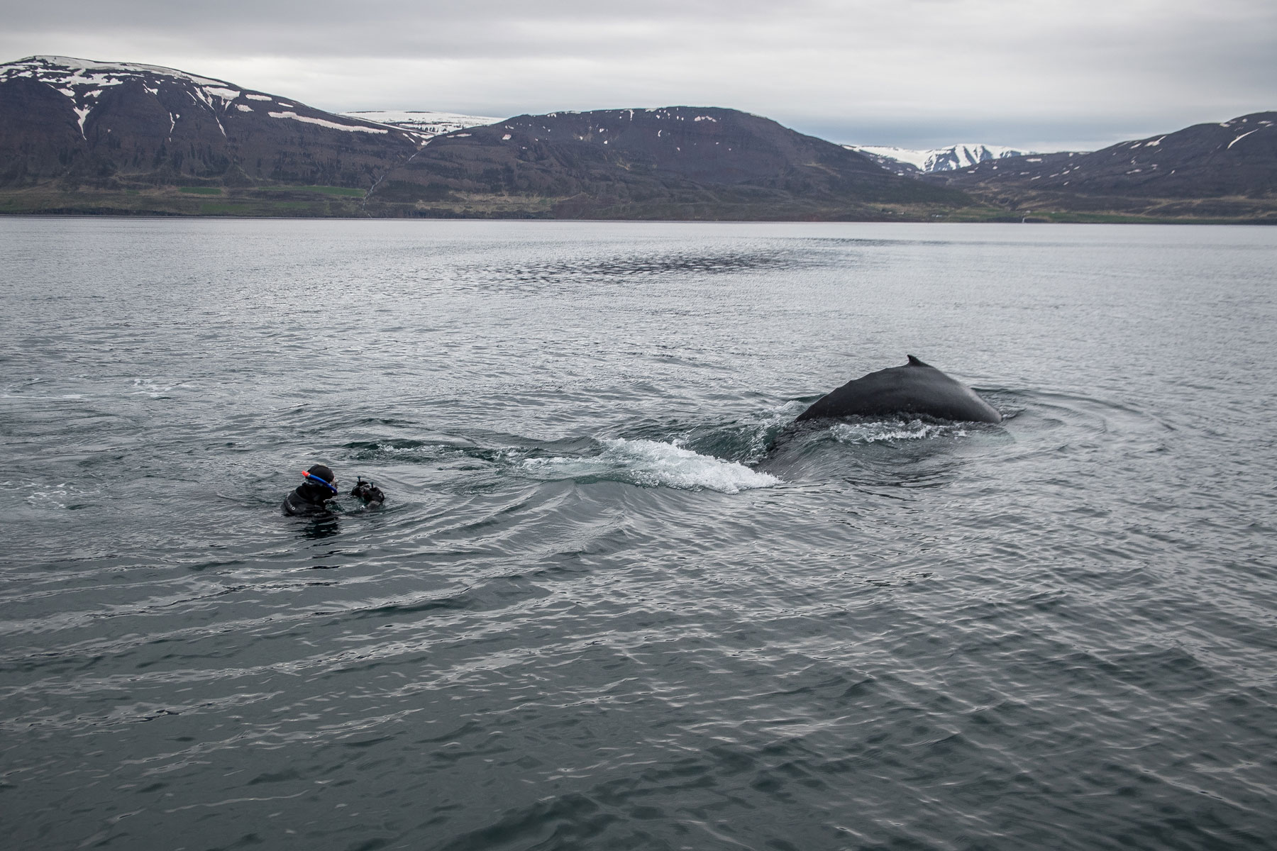 Snorkeling with whale in Iceland