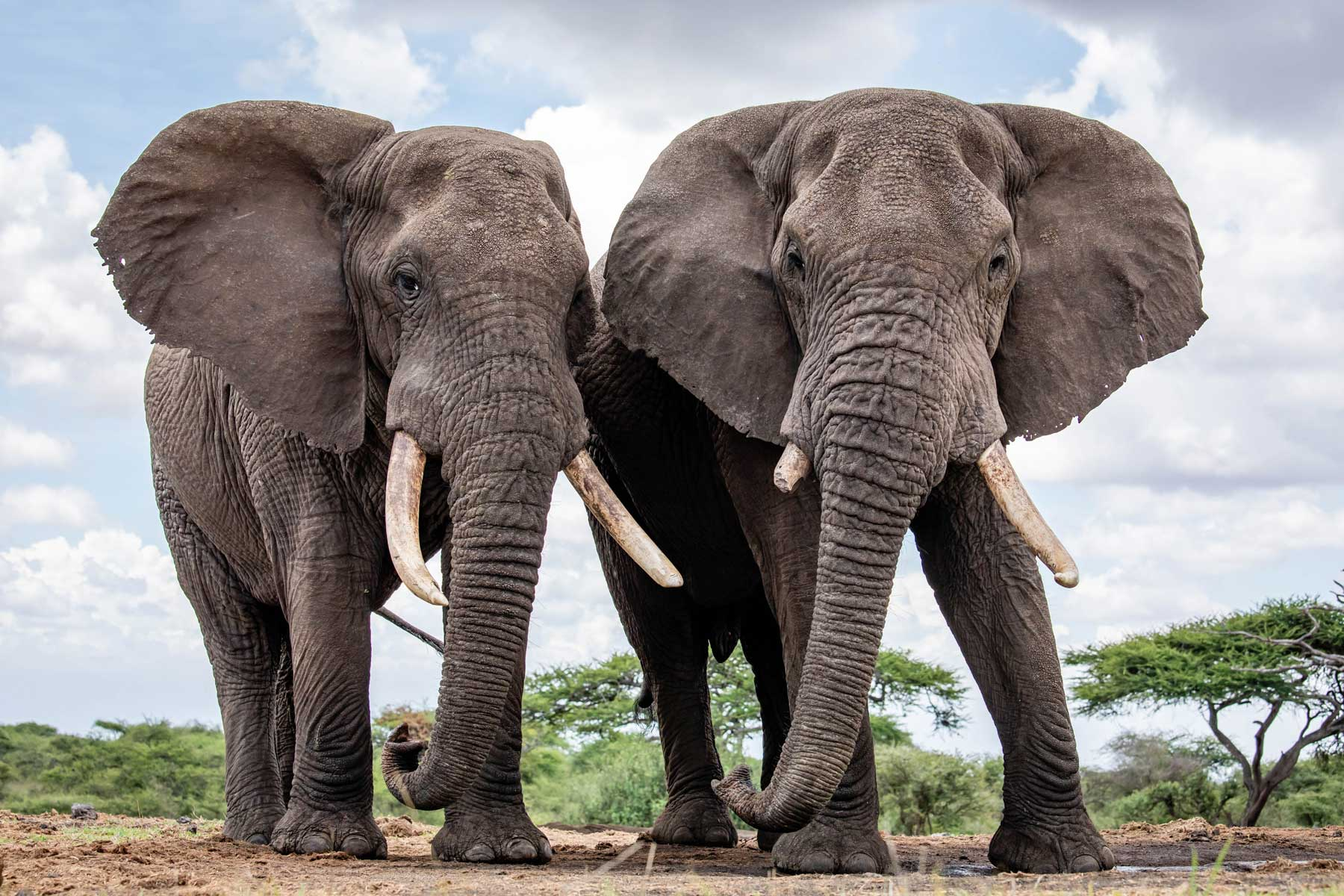 Two bull elephants at Ol Donyo lodge in the foothills of the Chyulu Hills, bordering the Chyulu Hills National Park in the east of the Amboseli ecosystem, Kenya