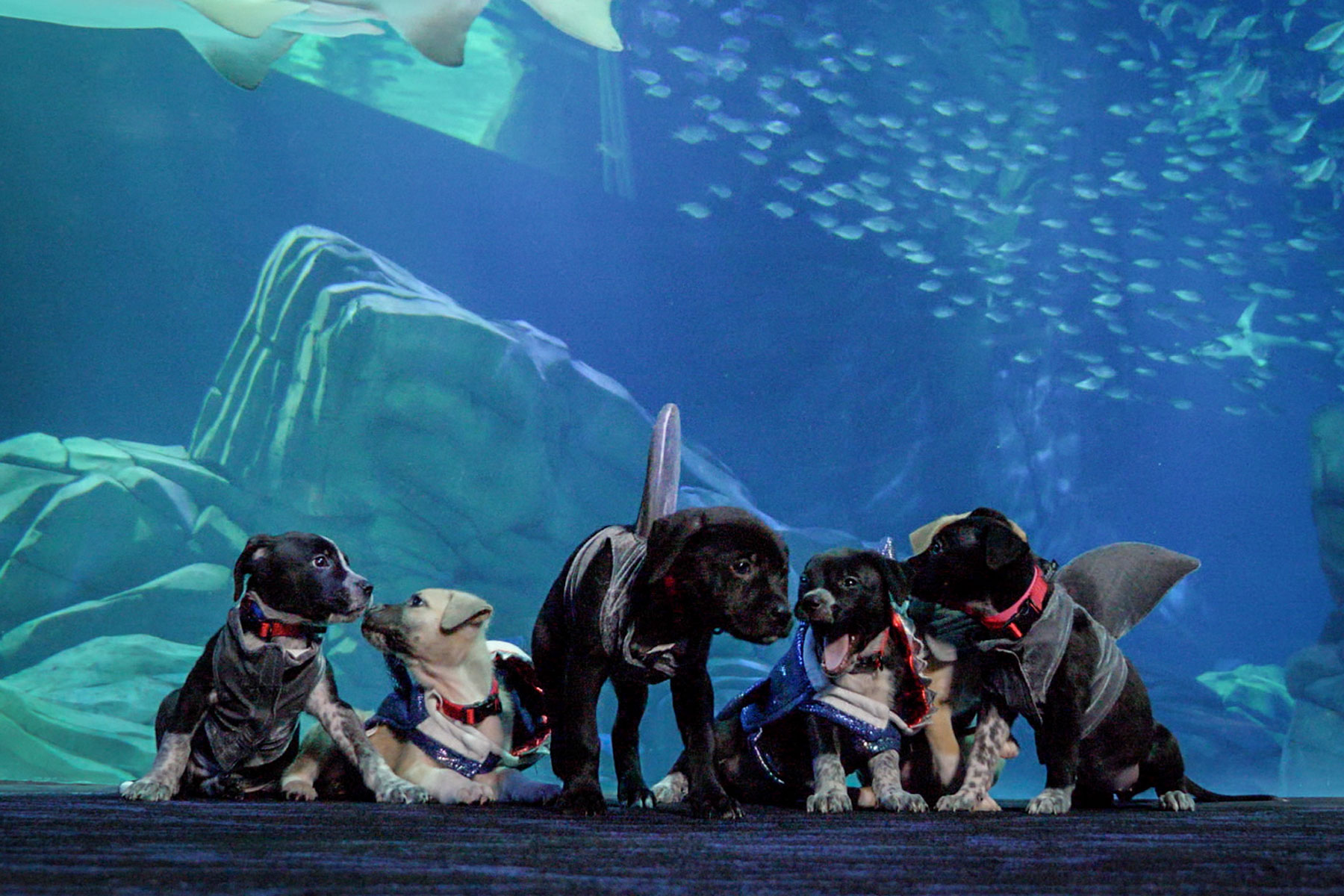 puppies wearing shark costumes